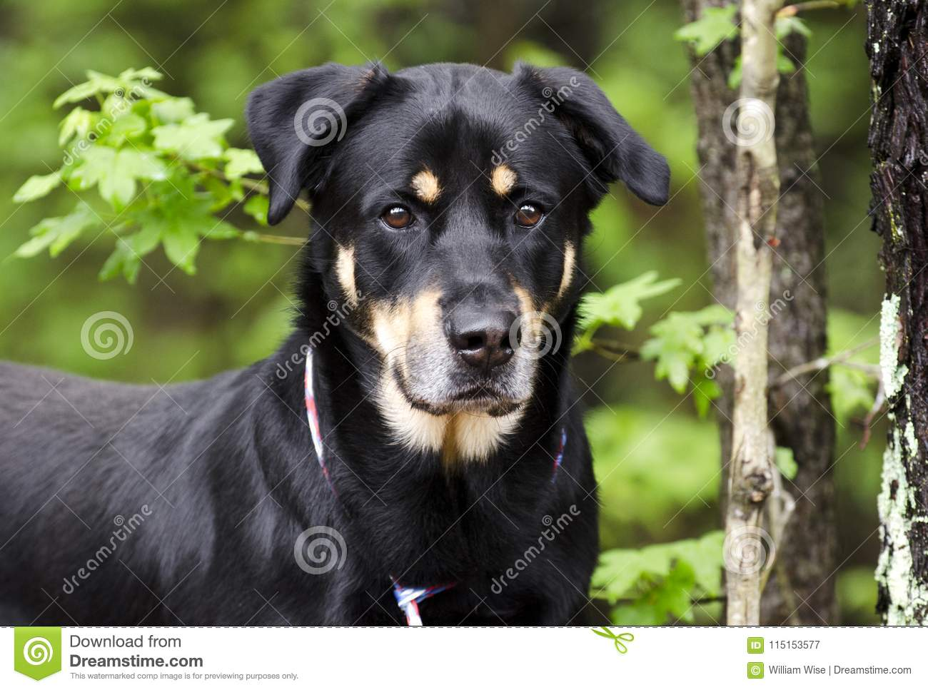Rottweiler Shepherd Mixed Breed Dog Pet Rescue Adoption Photography