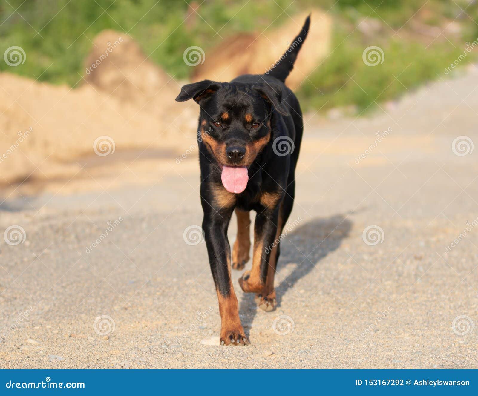 Rottweiler som går på grusvägen med tungan ut
