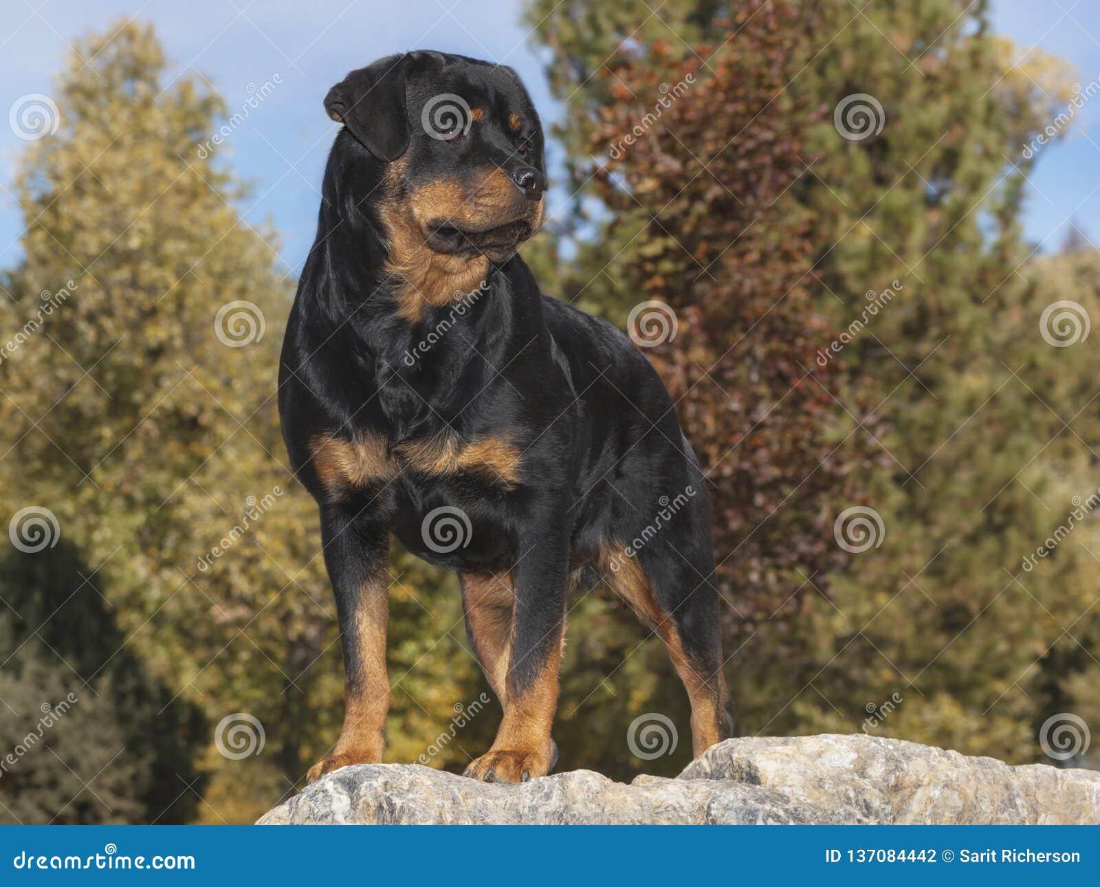 Rottweiler Status Gesteld op een Marmeren Kei