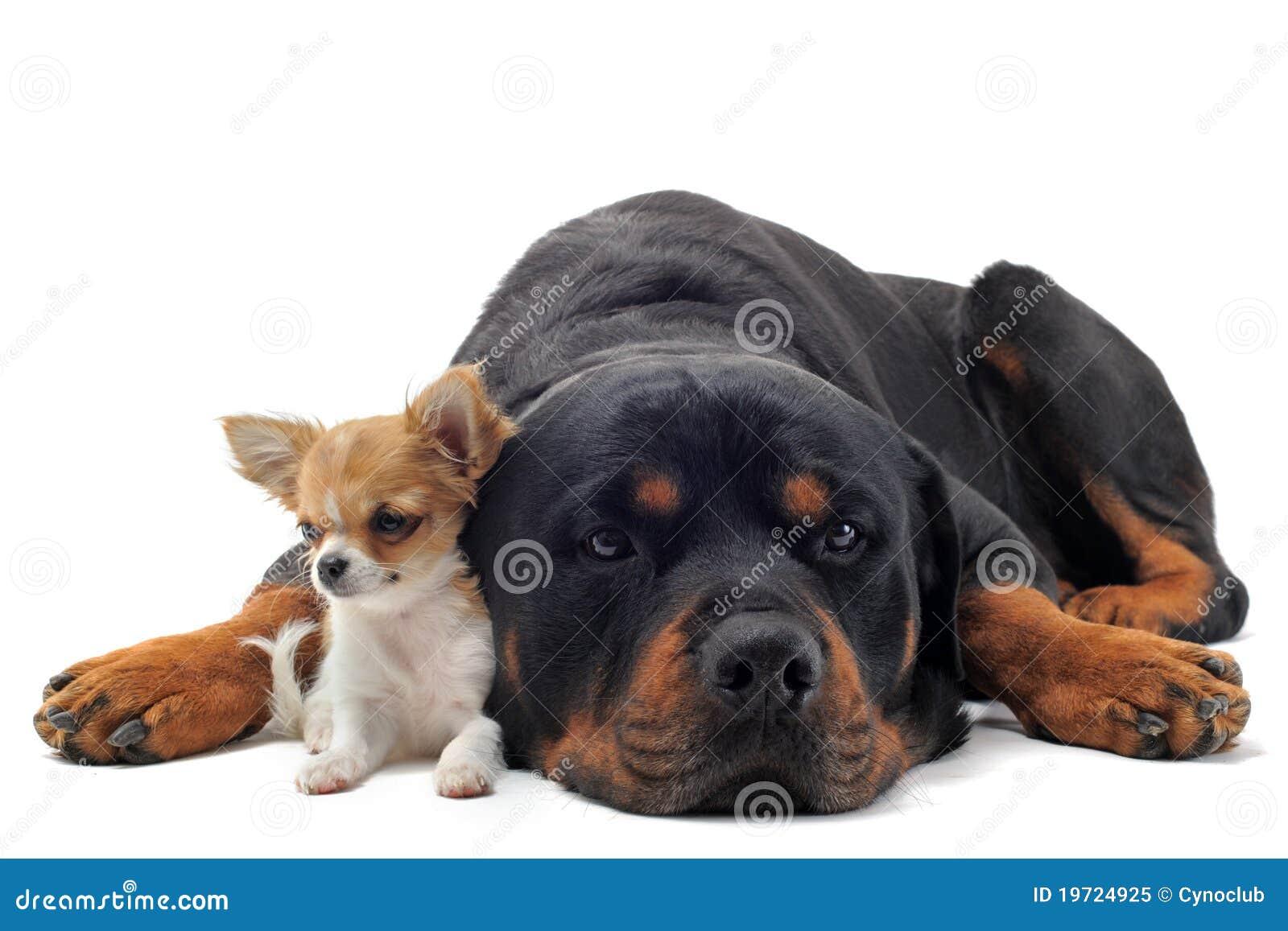 Rottweiler y chihuahua del perrito