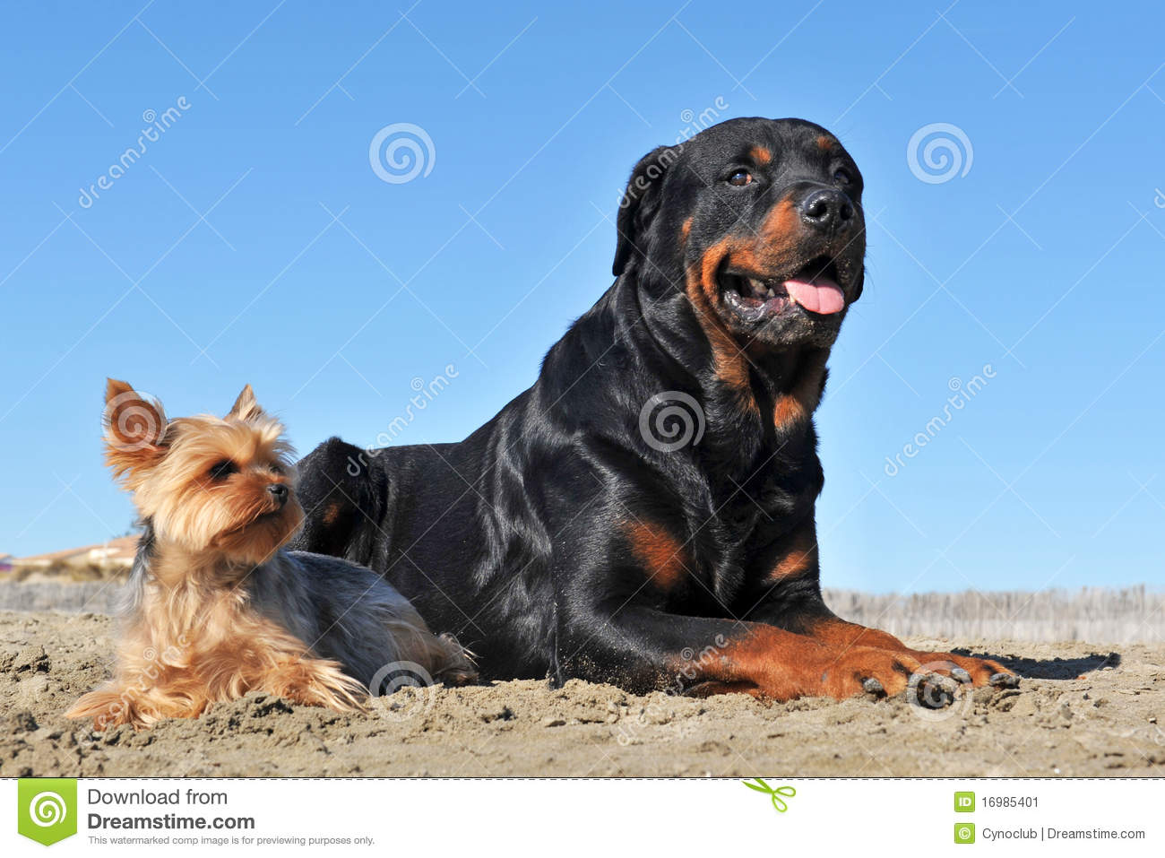 Rottweiler And Yorkshire Terrier Stock Image Image - Terrier and rottweiler