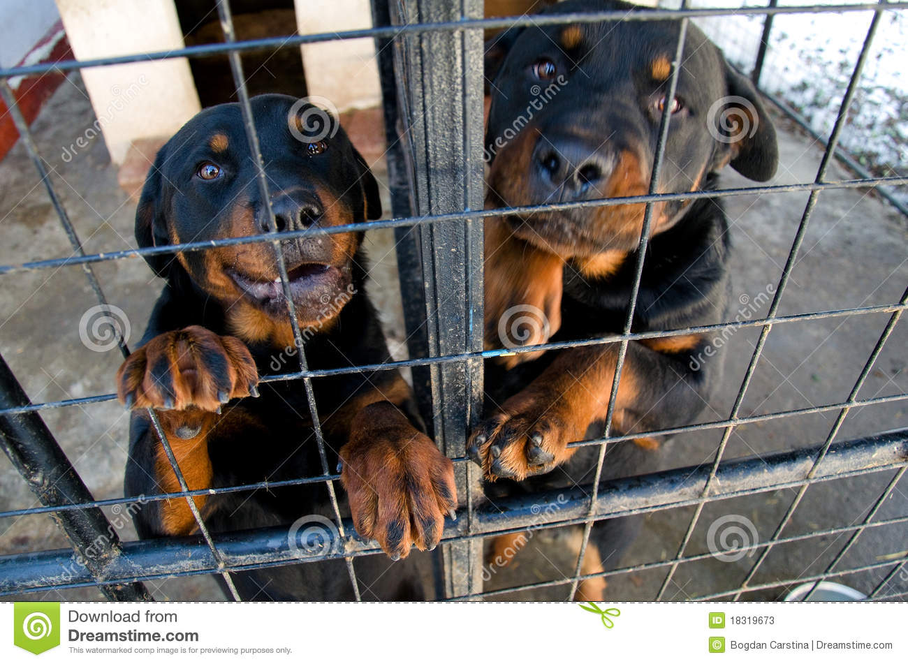 Rottweilers At The Animal Shelter Stock Image Image Of