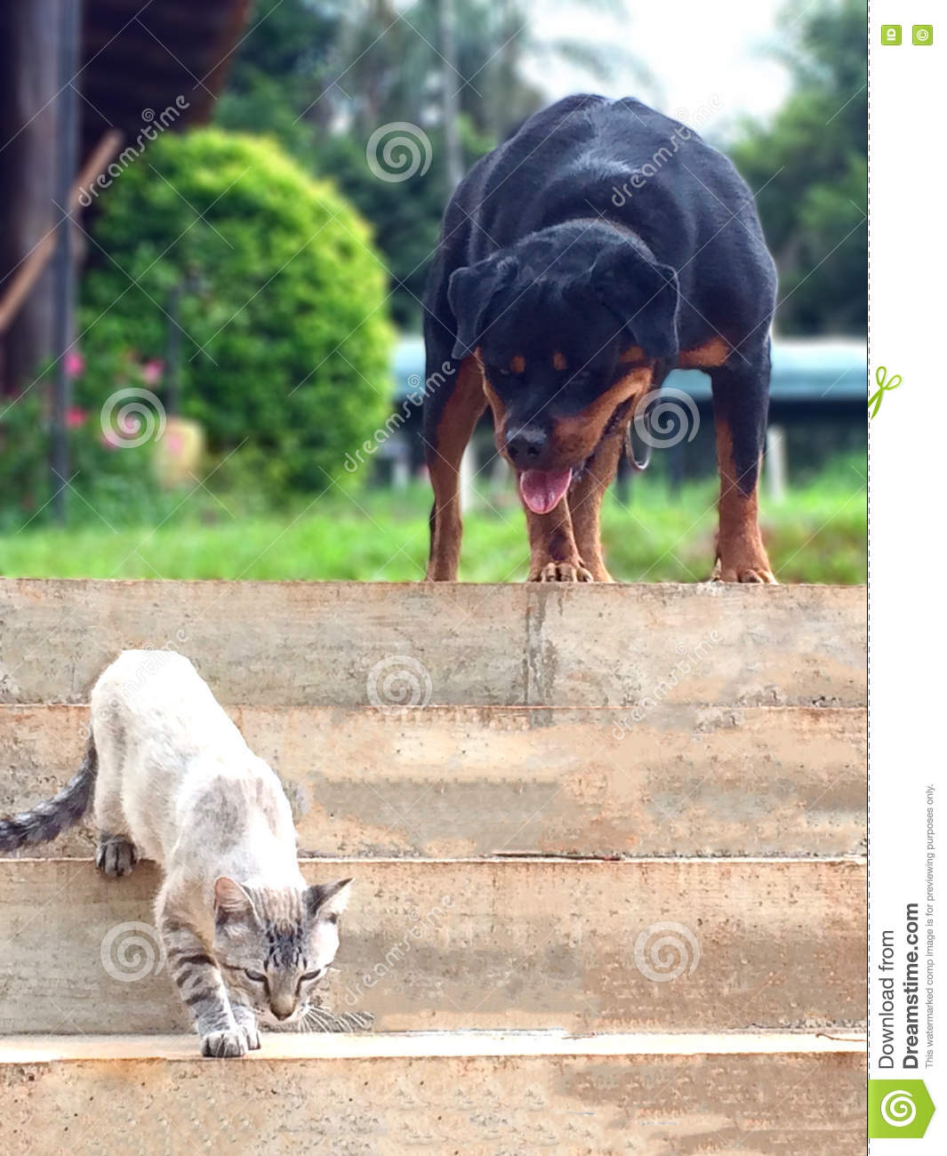 rotweiller vs cat stock photo image of aerea clouds 76751766