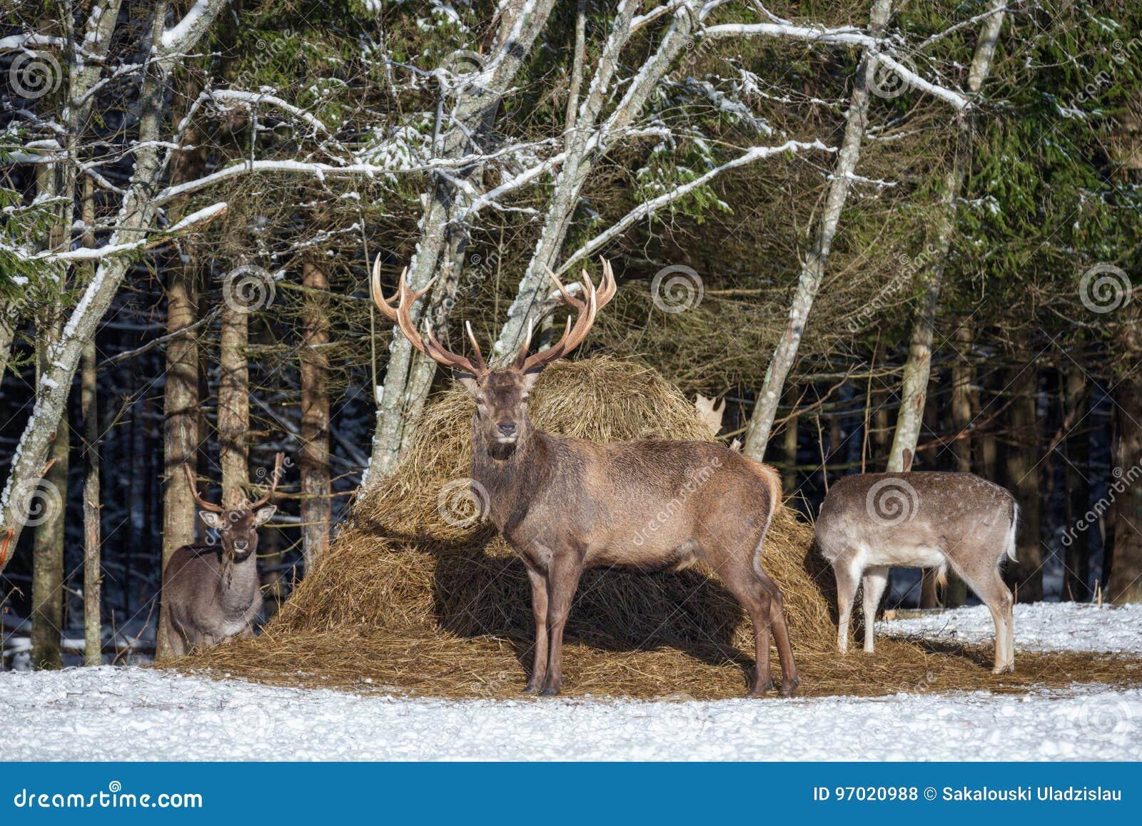 Rotwild-Hirsch Cervus Elaphus und zwei Damhirsche Dama Dama Gruppe verschiedene Spezies von Rotwild Graze In Winter Field Near A