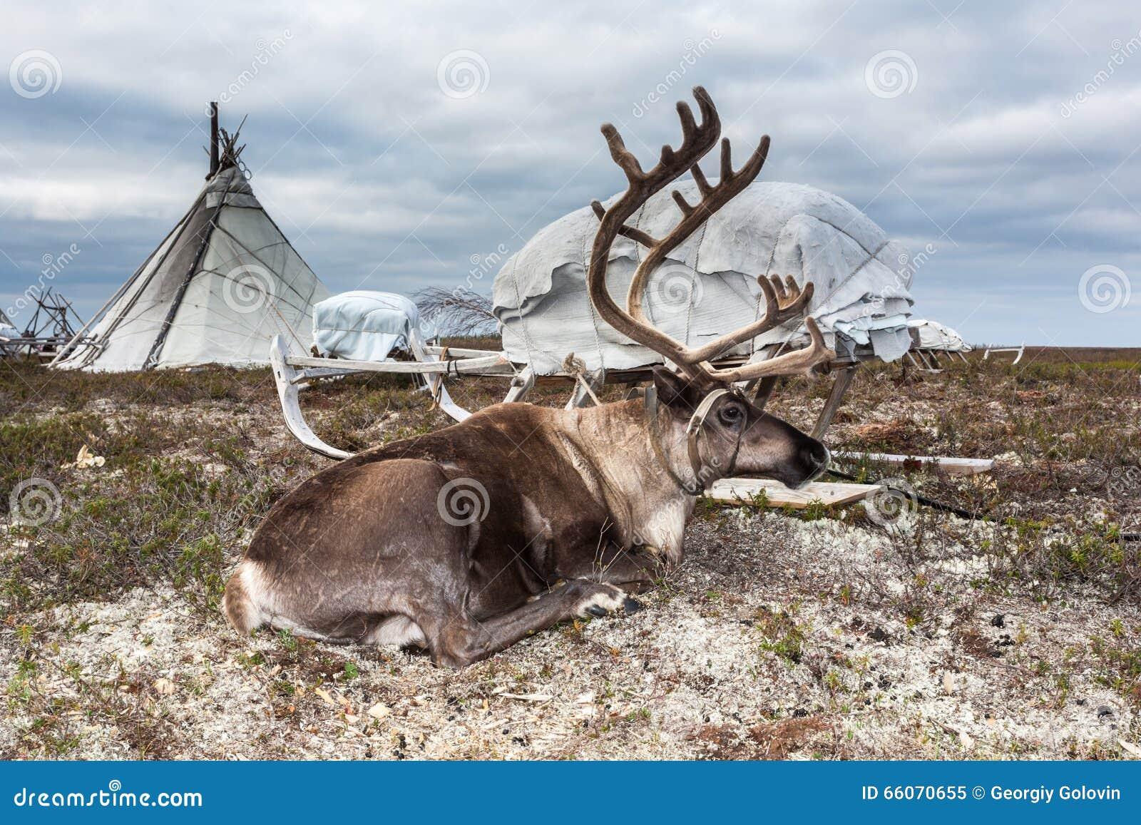 Rotwild im Geschirr am Lager Nenets