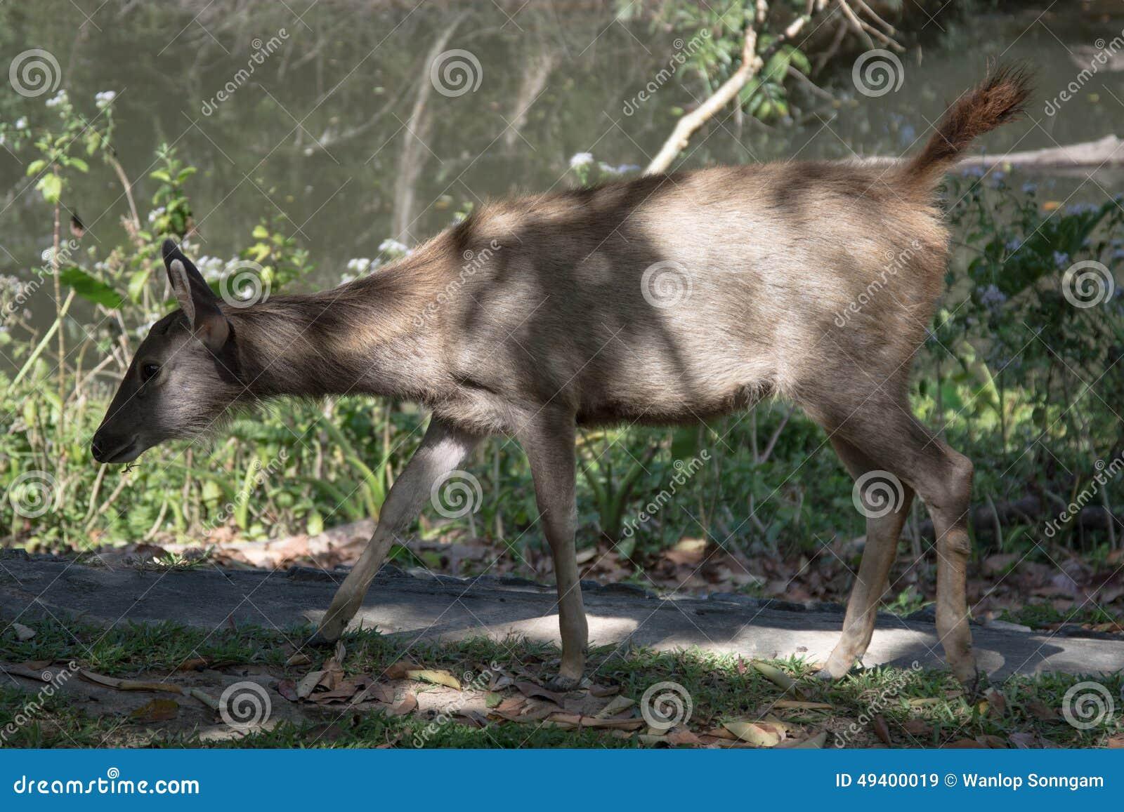 Download Rotwild In Khao Yai Nationalpark, Thailand Stockbild - Bild von specie, frau: 49400019