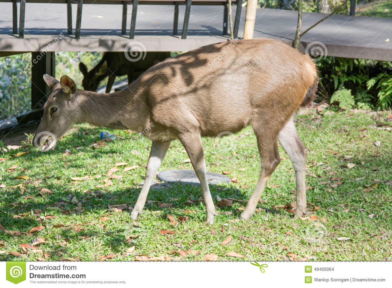 Download Rotwild In Khao Yai Nationalpark, Thailand Stockfoto - Bild von field, hupen: 49400064