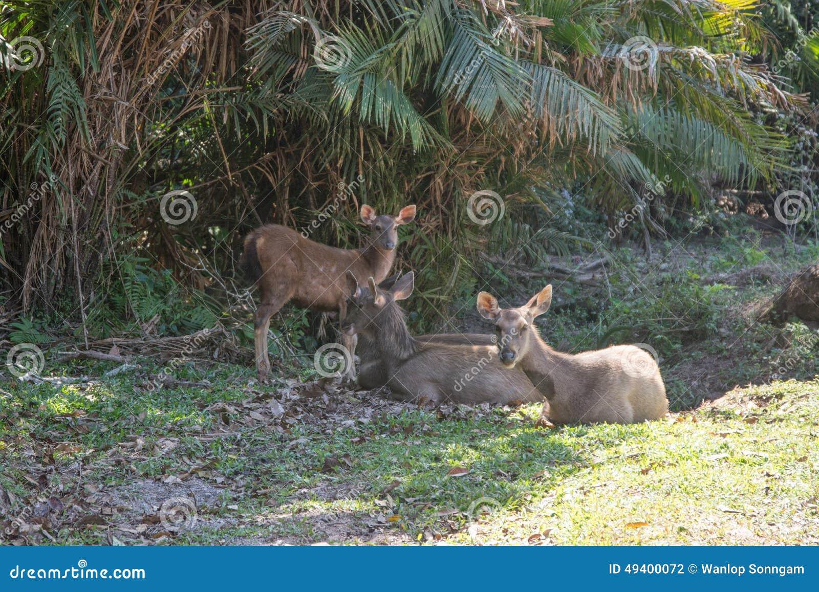 Download Rotwild In Khao Yai Nationalpark, Thailand Stockfoto - Bild von hupen, ökologie: 49400072