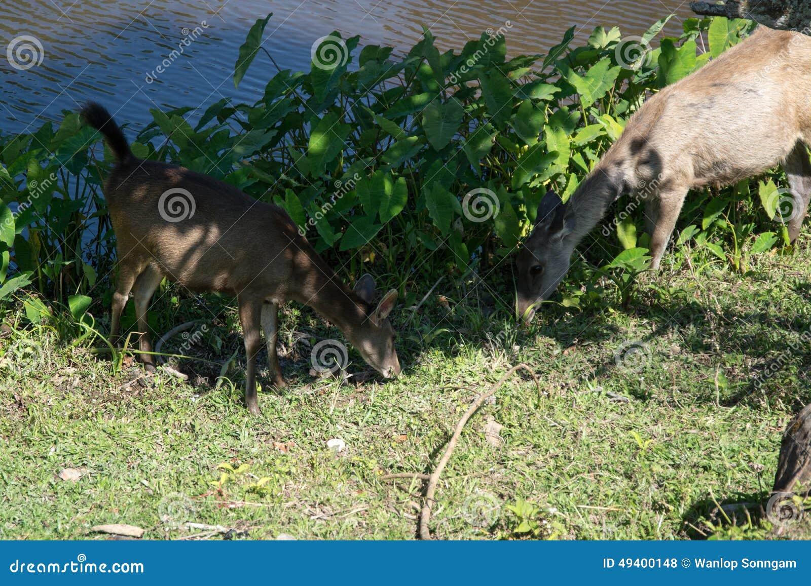 Download Rotwild In Khao Yai Nationalpark, Thailand Stockfoto - Bild von gras, alleine: 49400148