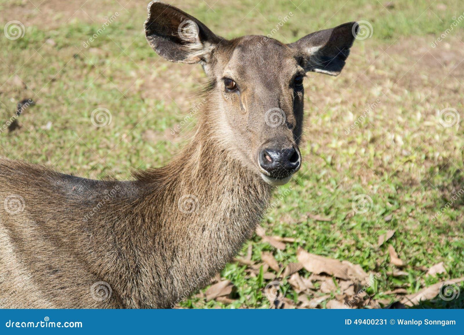 Download Rotwild In Khao Yai Nationalpark, Thailand Stockbild - Bild von frech, rotwild: 49400231