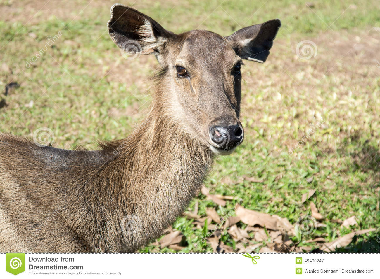 Download Rotwild In Khao Yai Nationalpark, Thailand Stockbild - Bild von frech, dschungel: 49400247