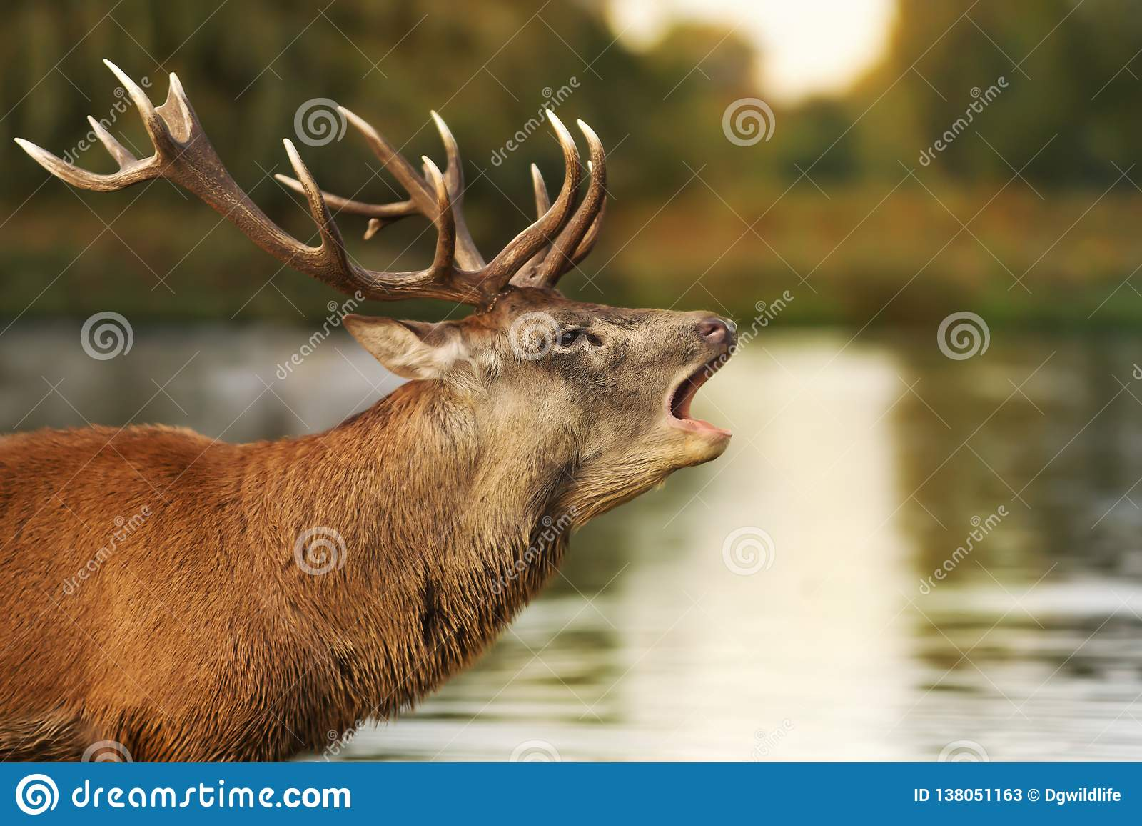 Rotwildhirsch, der nah an dem Teich brüllt