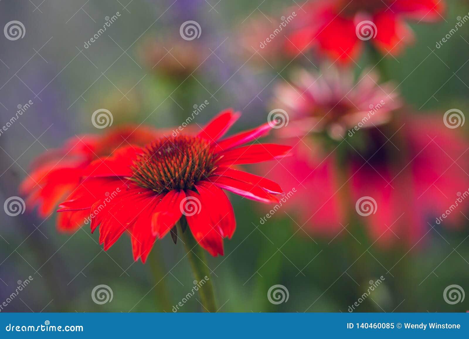 Rouge d Echinacea avec la tache floue de fond