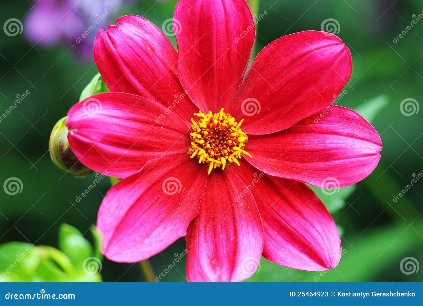 Rouge de jardin de fleur un beau photos stock image for Un jardin de fleurs