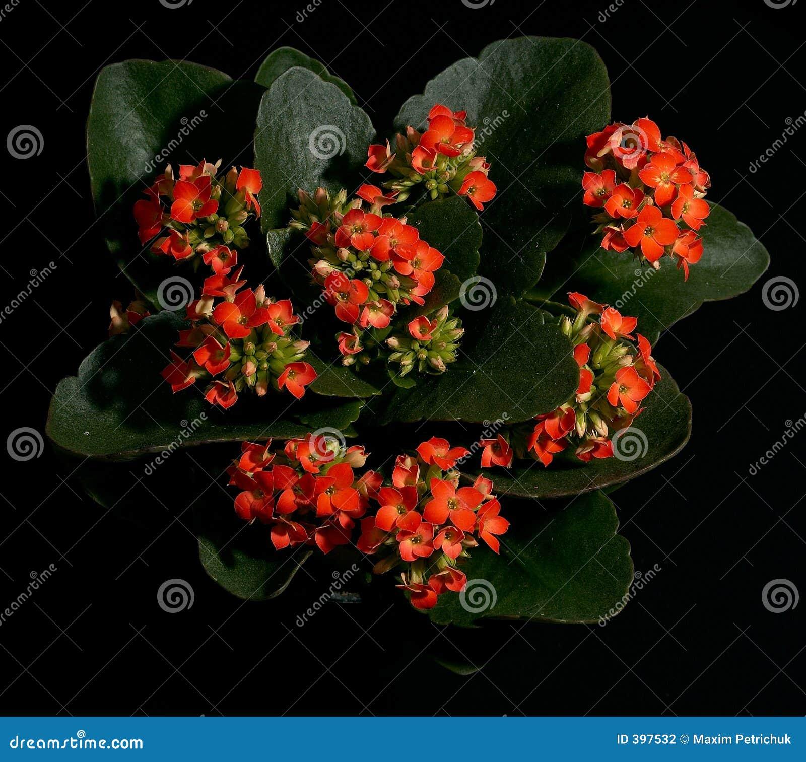 Rouge Kalanchoe de fleur