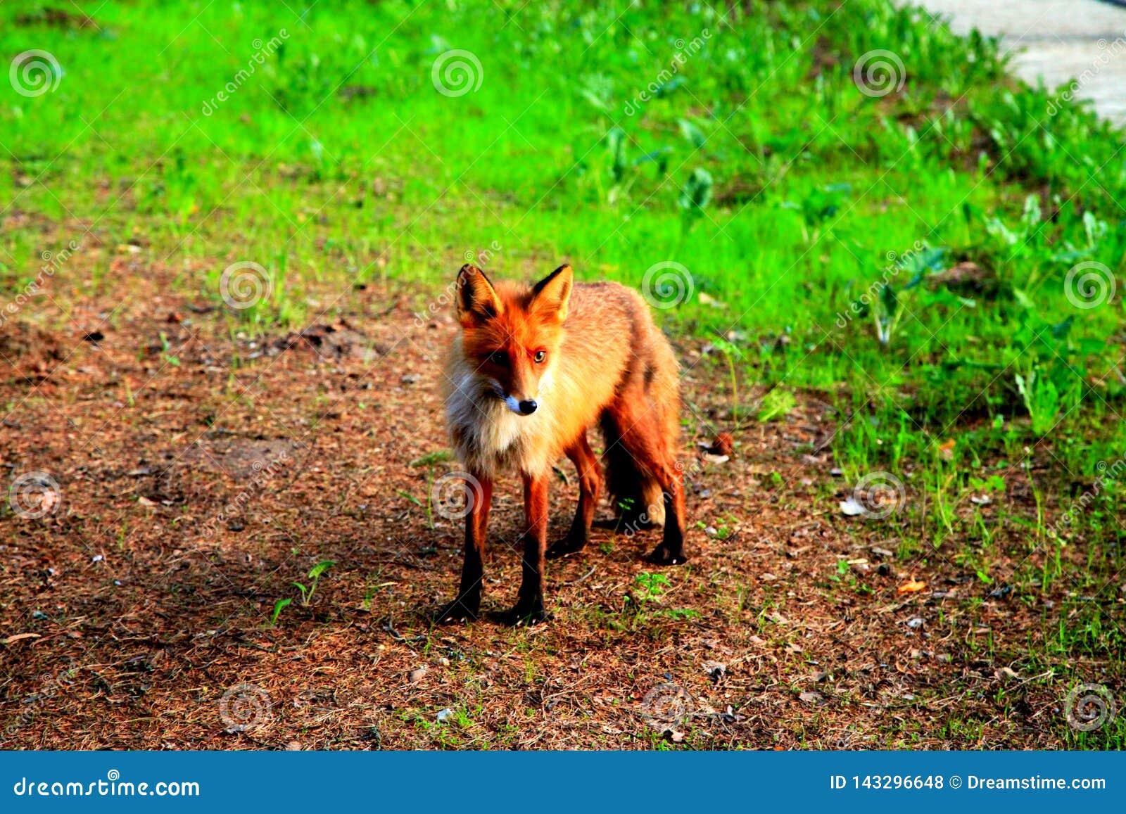 Rouge peu de renard sur une pelouse verte