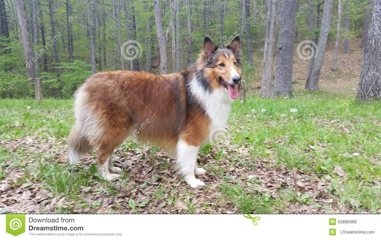 rough collie and sheltie mix stock photo image 53886968