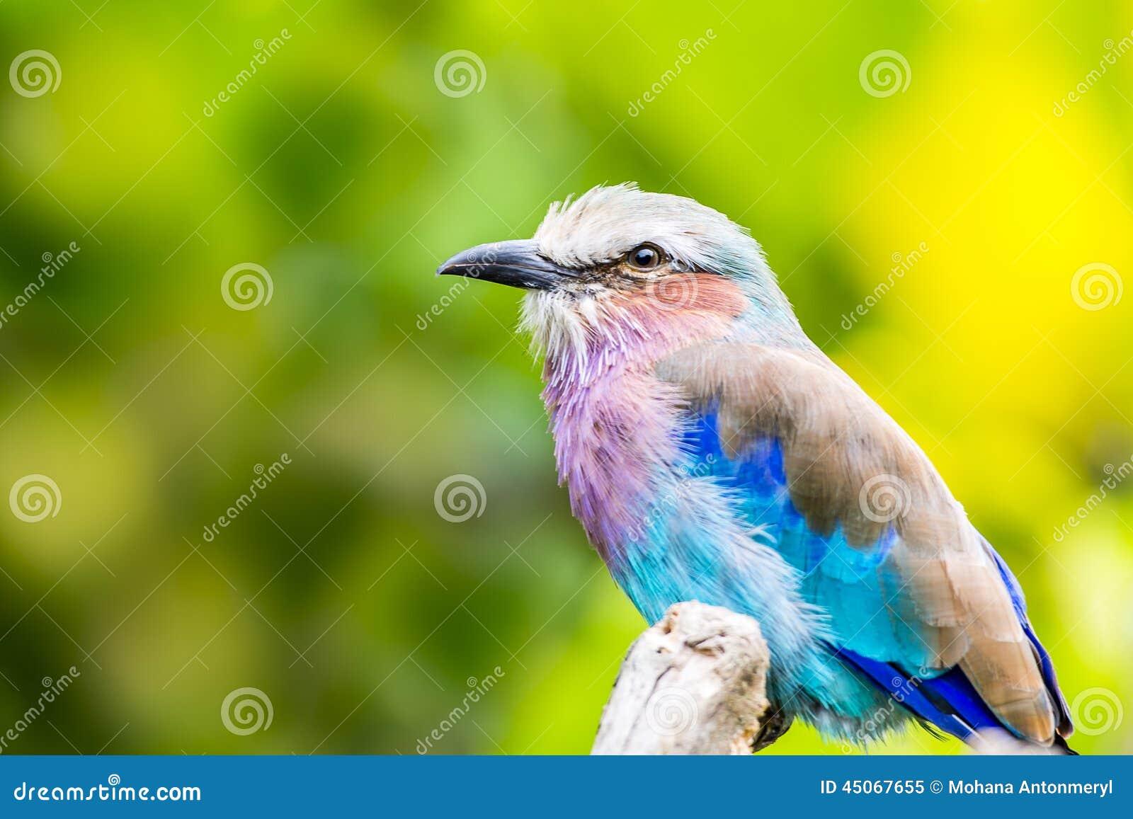 Rouleau lilas breasted par oiseau