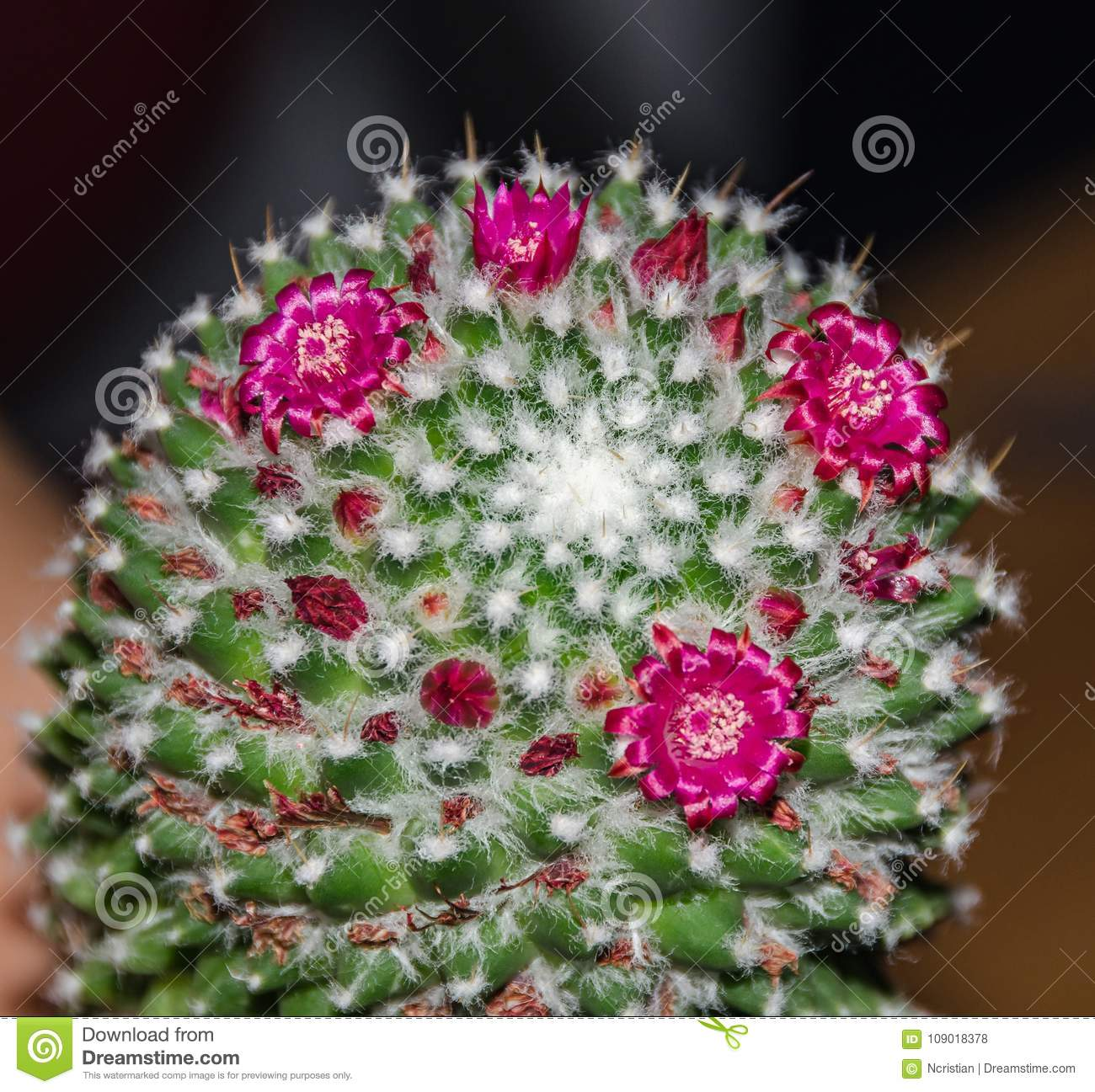 Round Green Cactus With Pink Flowers Buds Close Up Stock Photo