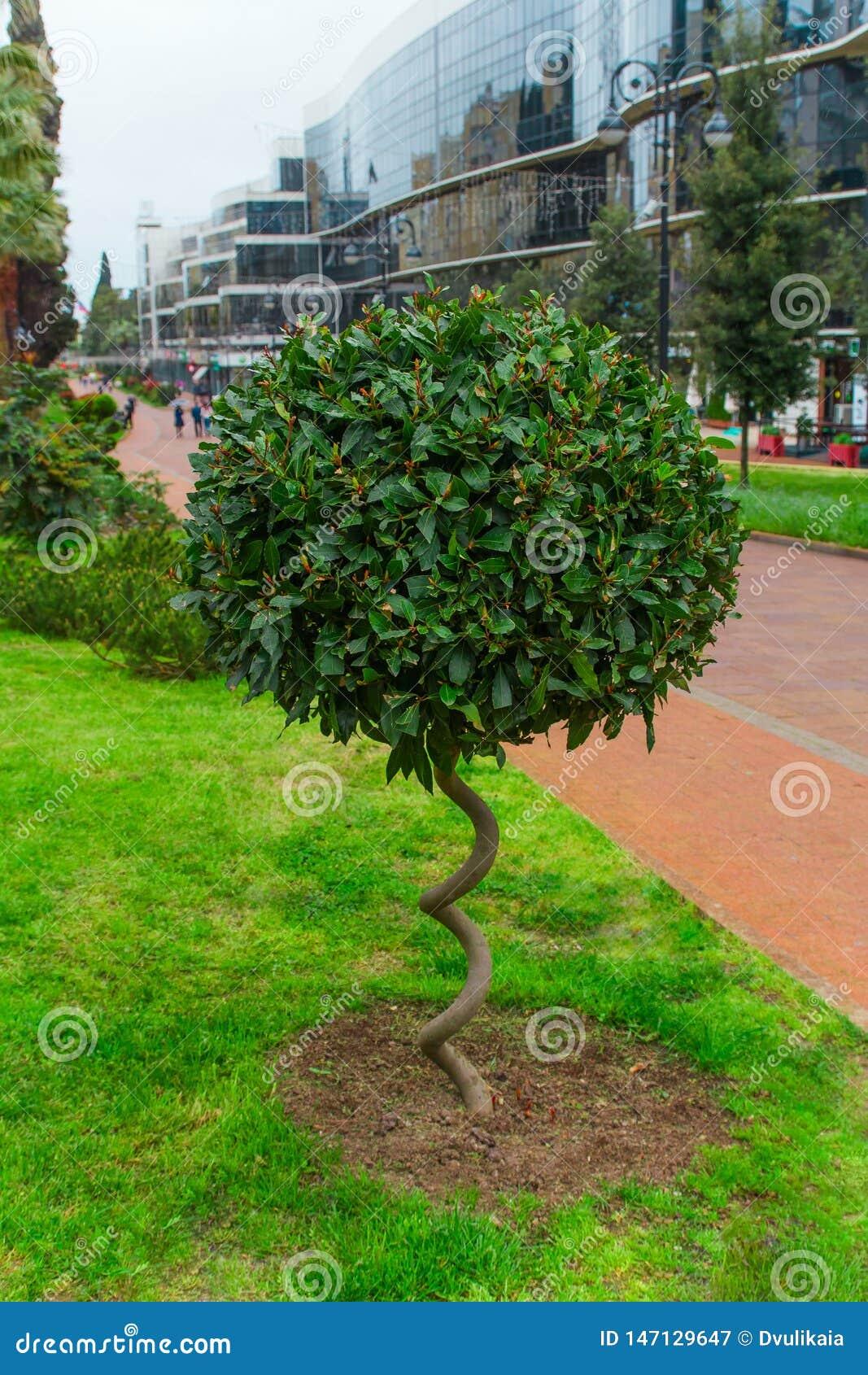 green fluffy bush with spiral trunk in a park , landscape design concept