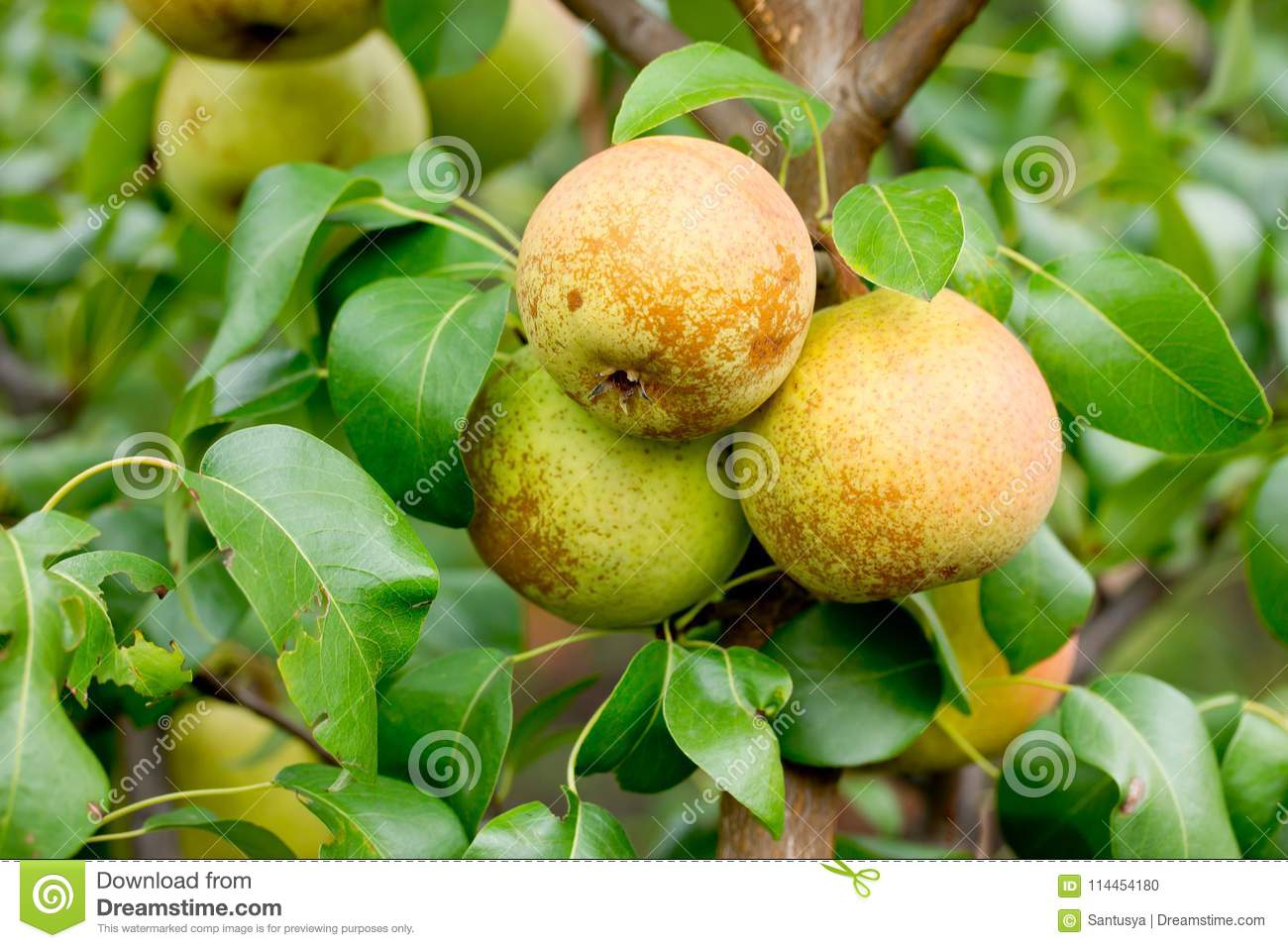 Round Pear Apple Hybrid On Tree Branch Stock Photo Image Of