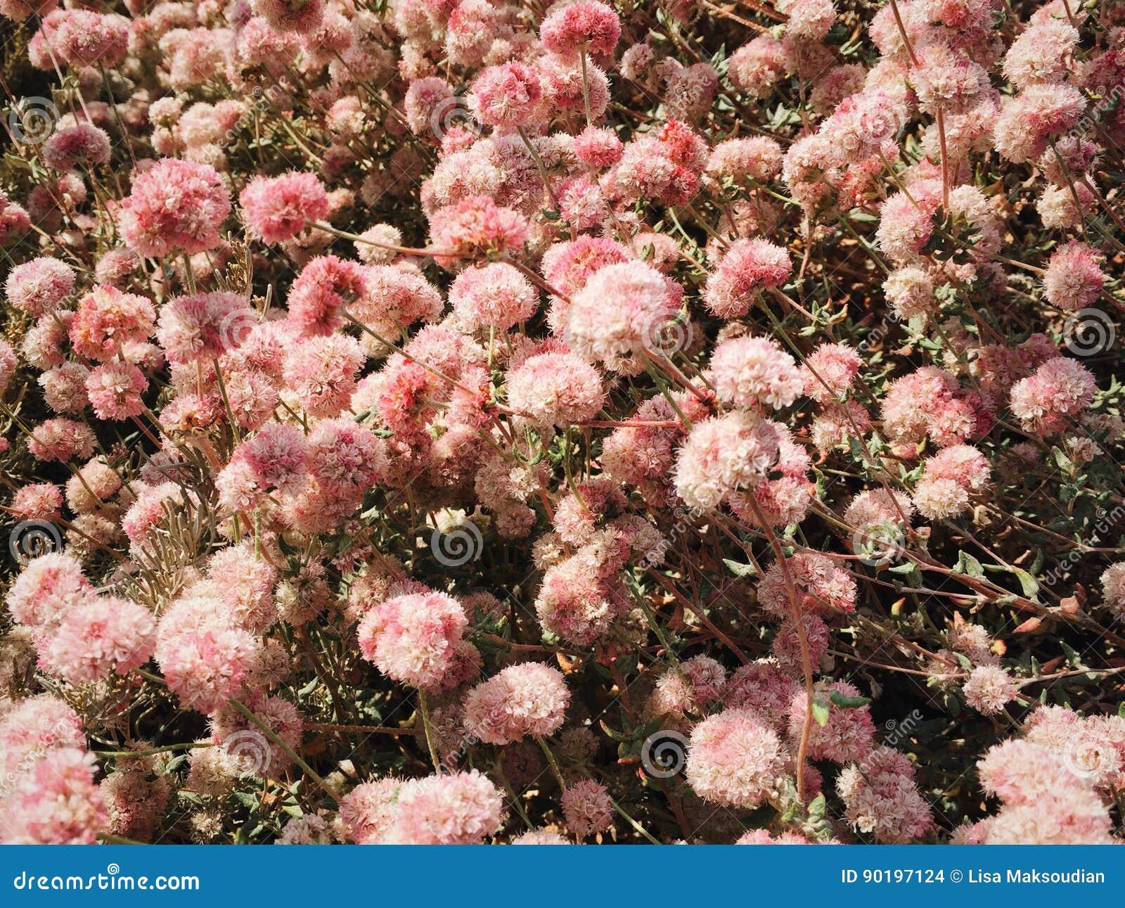 Round Pink Arid Flowers Stock Photo Image Of Flower 90197124