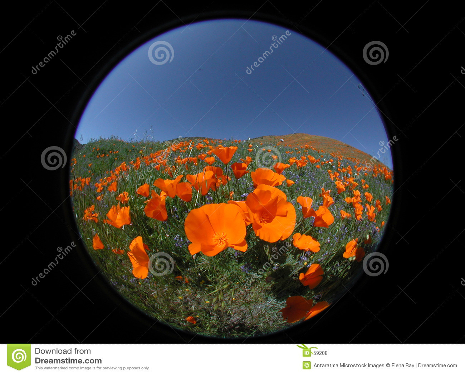 Round Poppies 2