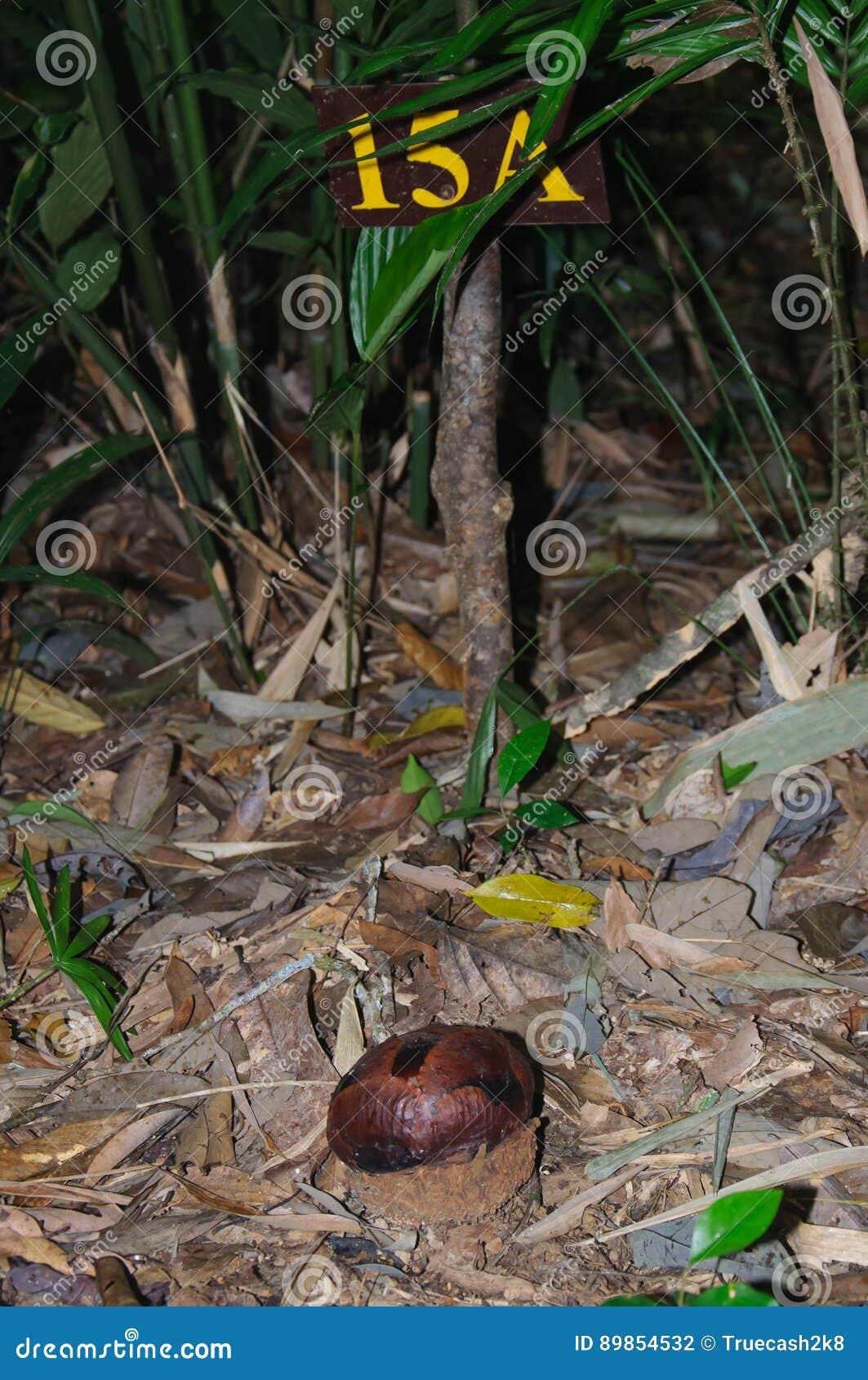 Round Rafflesia bud in floor of tropical forest, Khao Sok, Thailand