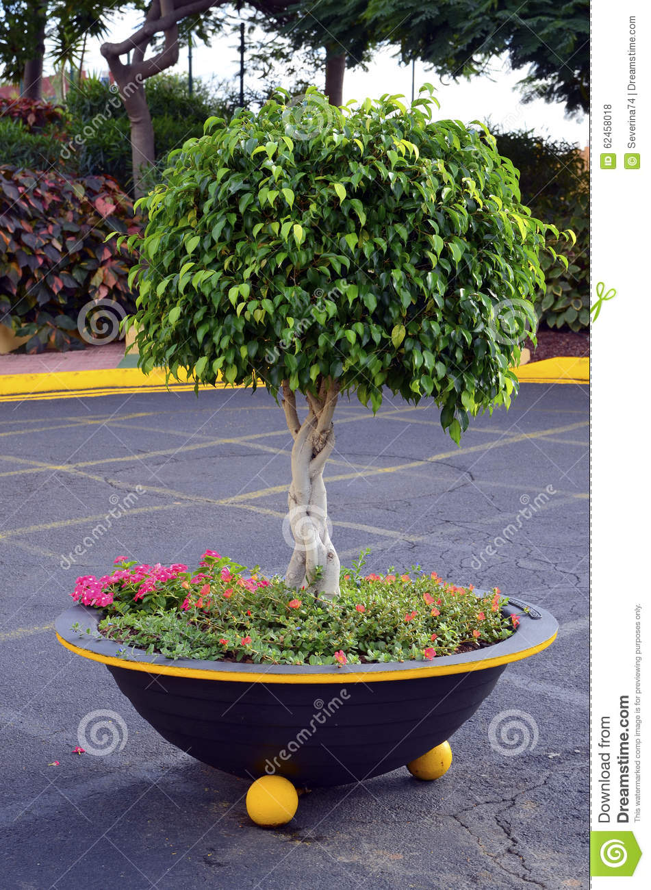 Watch How to Prune a Ficus Tree video