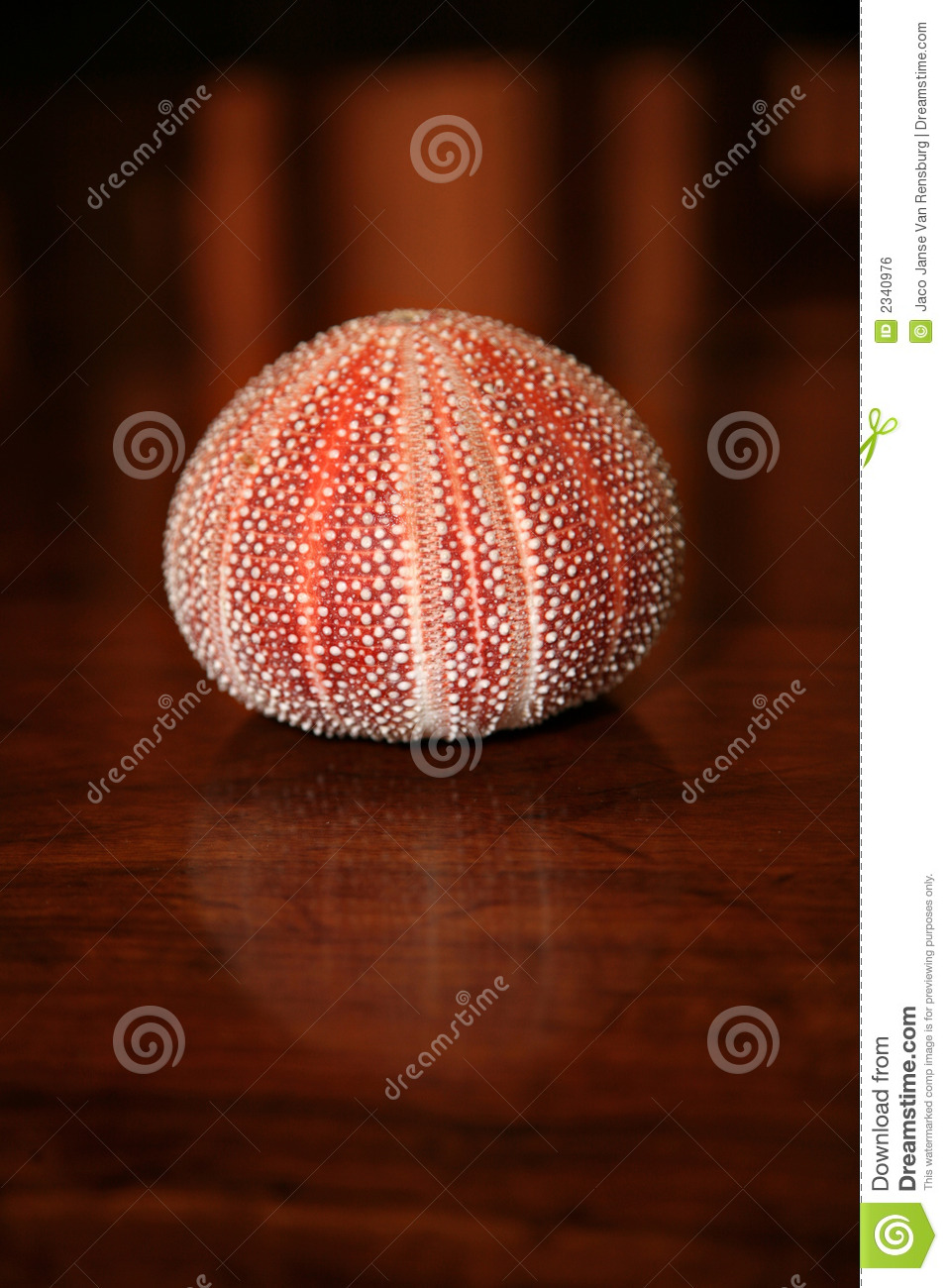 round shaped sea shell stock photo  image of pink  shell