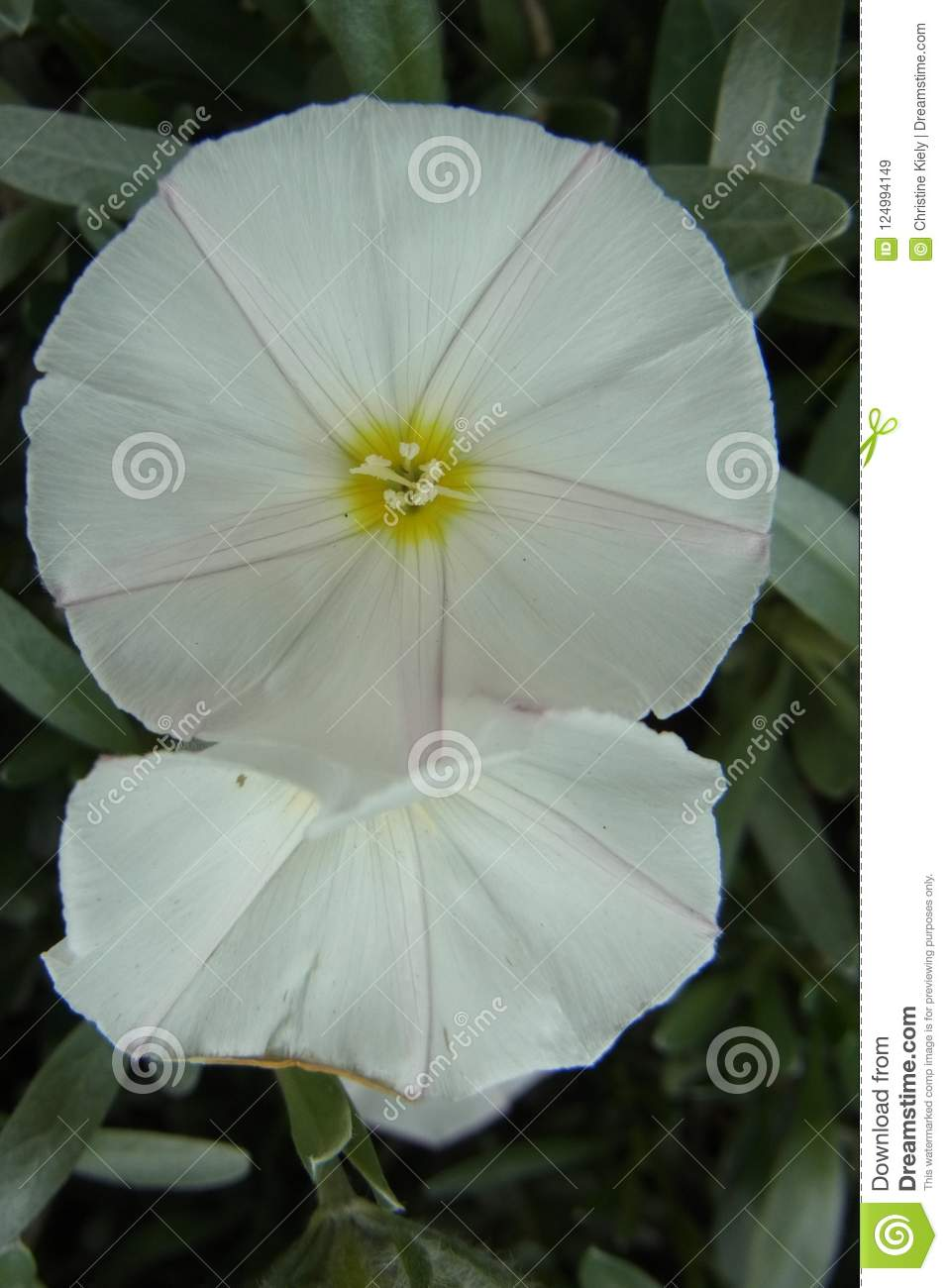 Round White Flowers Stock Image Image Of White Effect 124994149