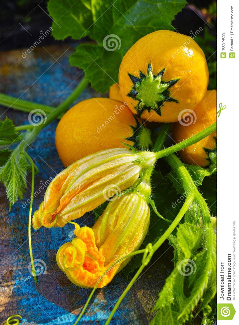 Round yellow zucchini and zucchini flowers fresh in the garden download round yellow zucchini and zucchini flowers fresh in the garden stock image mightylinksfo