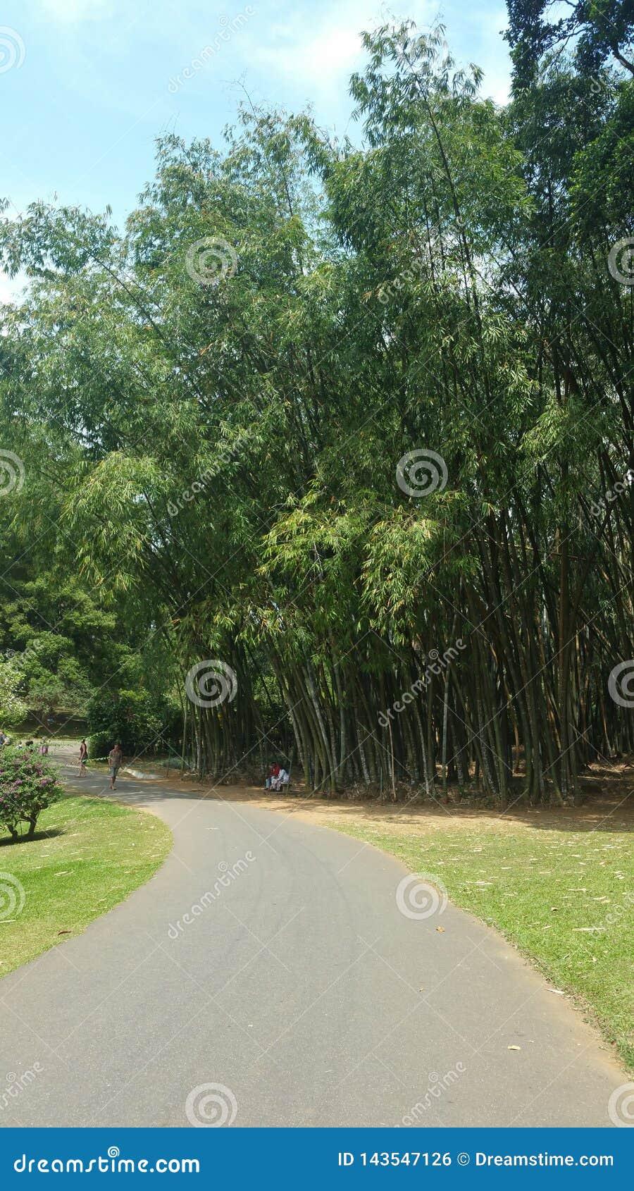Route dans la plantation de woods