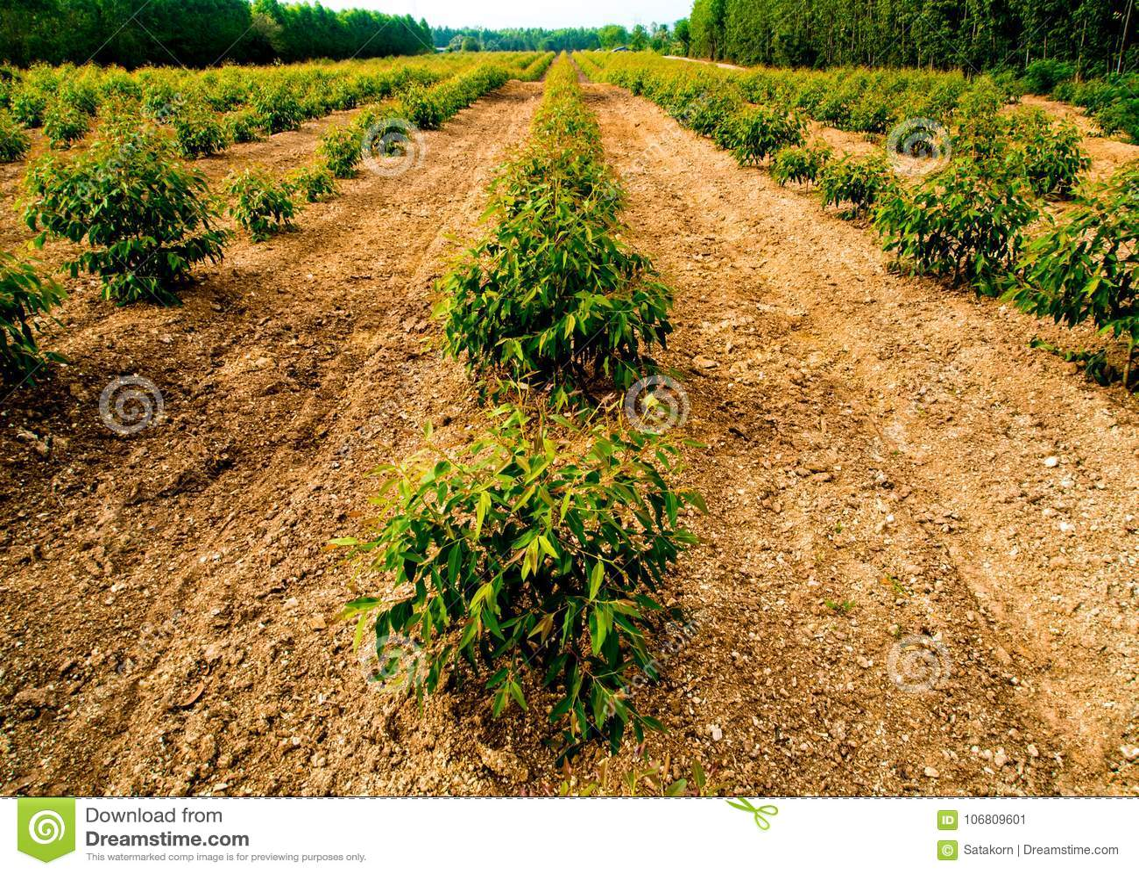 Row Of Eucalyptus Tree In The Farm Stock Image Image Of Plant