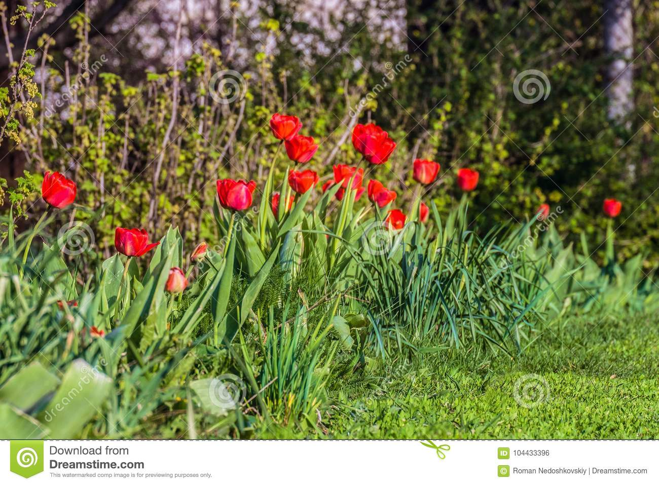 Row Of Garden Red Tulips Spring Flower Buds Stock Photo Image Of