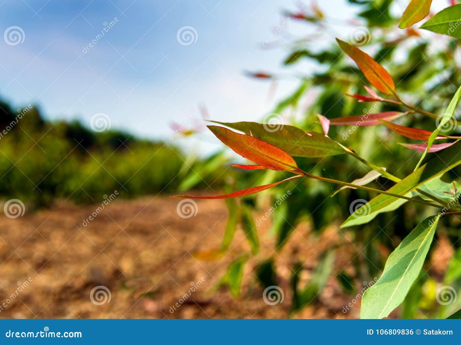 Growth Eucalyptus Tree In The Plantation Stock Photo Image Of