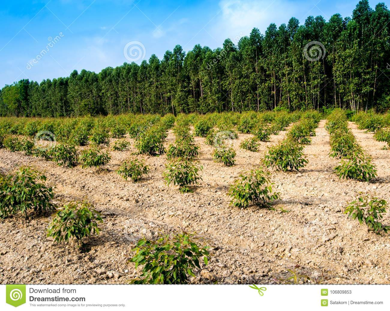 Growth Eucalyptus Tree In The Plantation Stock Image Image Of