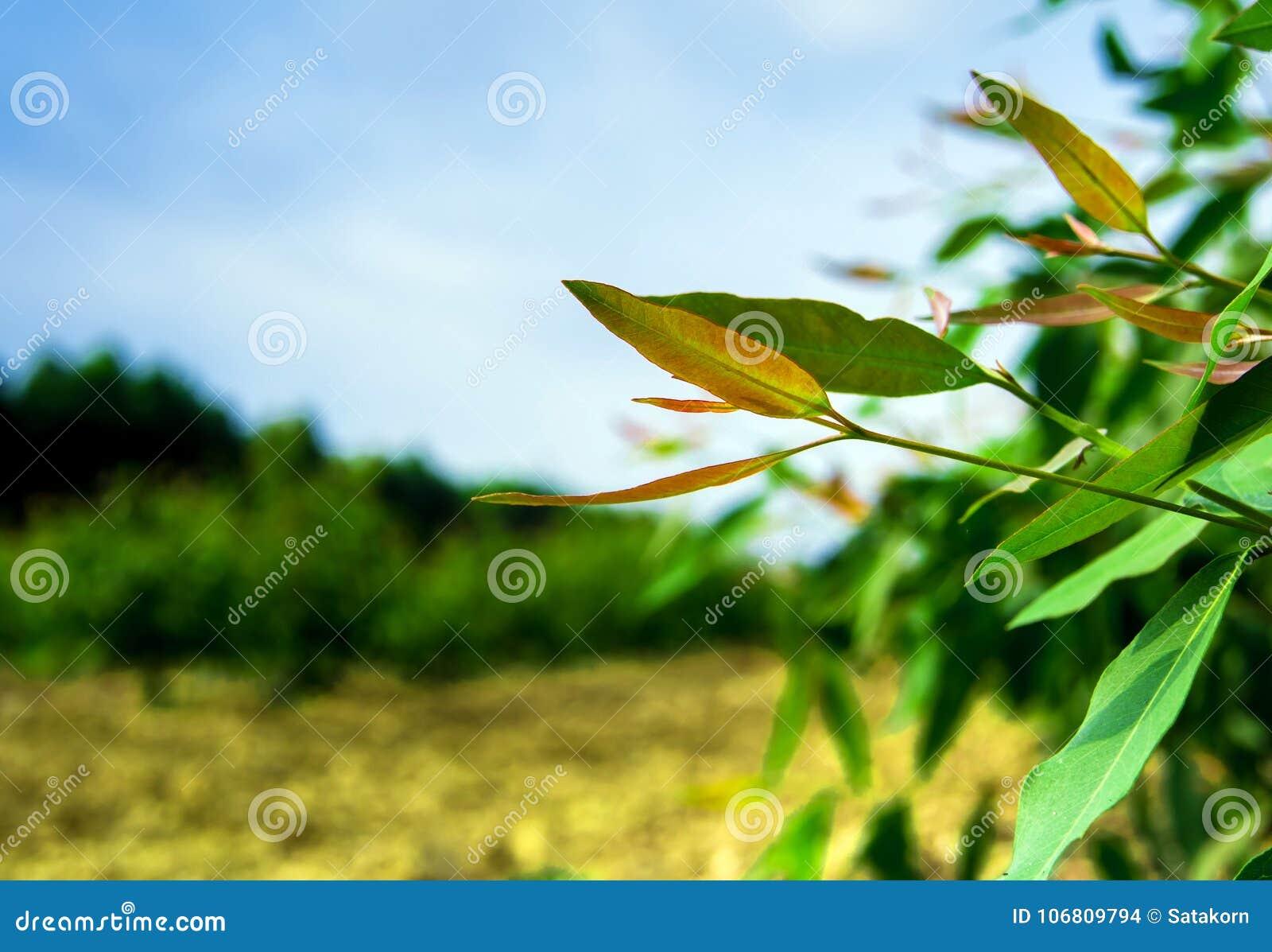 Row Of Eucalyptus Tree In The Plantation Stock Photo Image Of