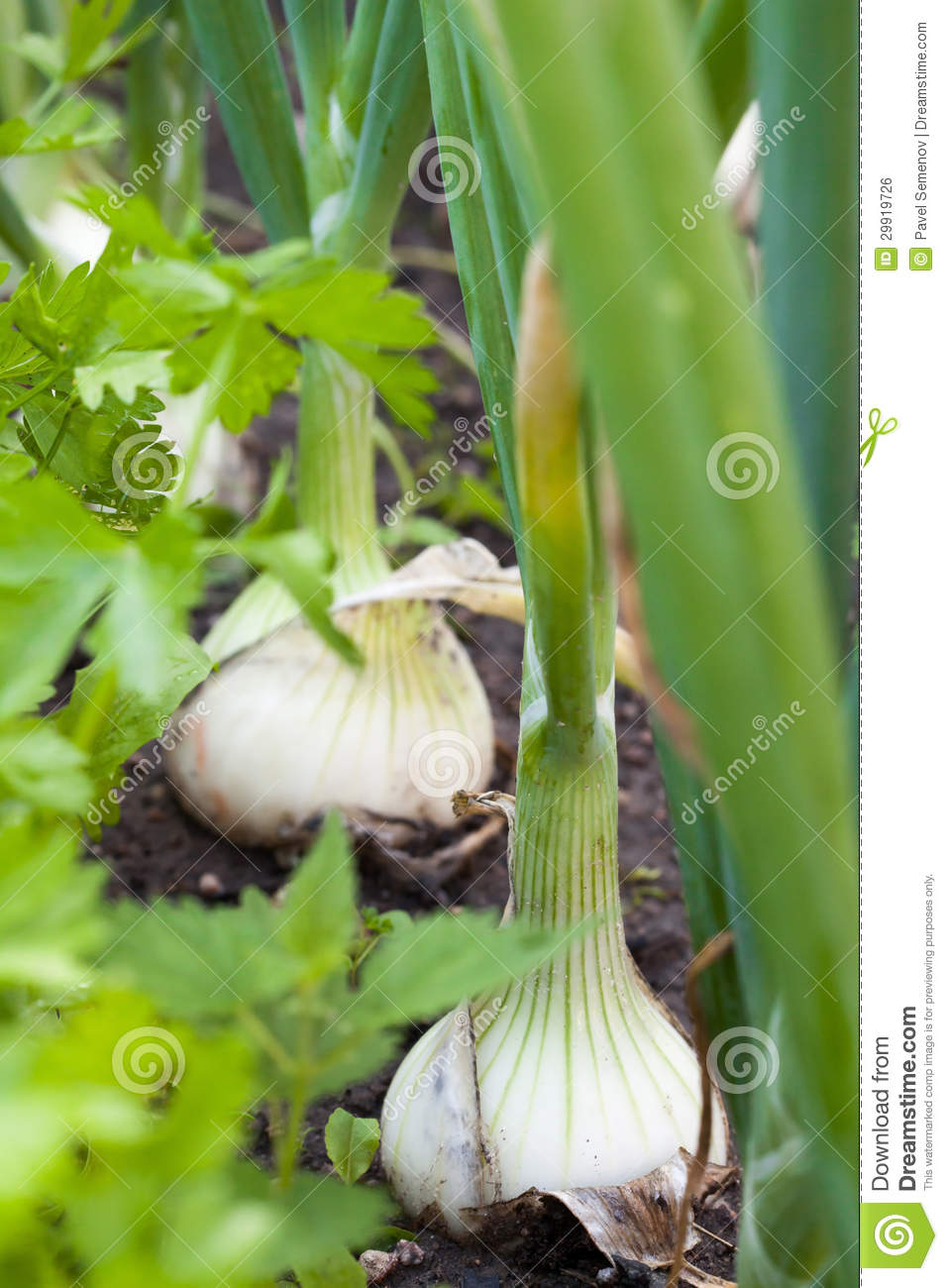 how to grow large onions from sets