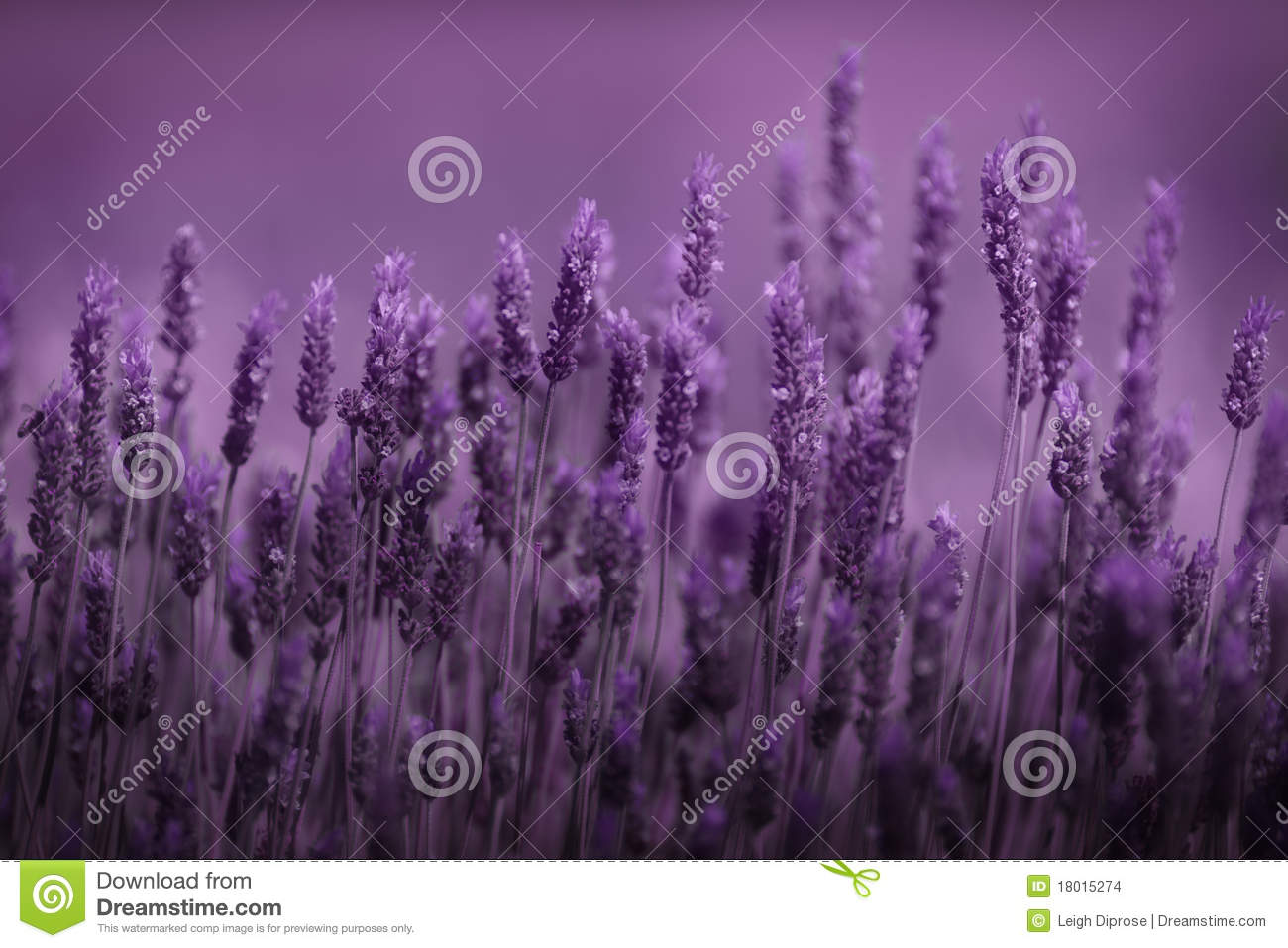 Row of lavender