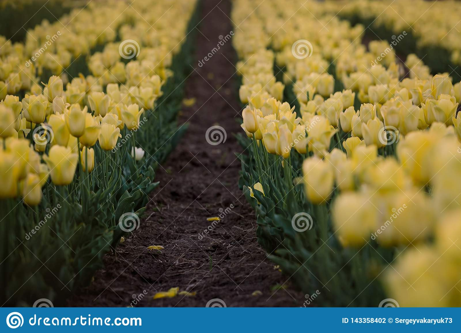 Yellow tulips field. Flowering spring.  Breath of spring.
