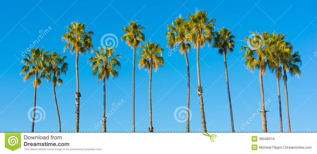 a row of palm trees with a sky blue background stock photo image