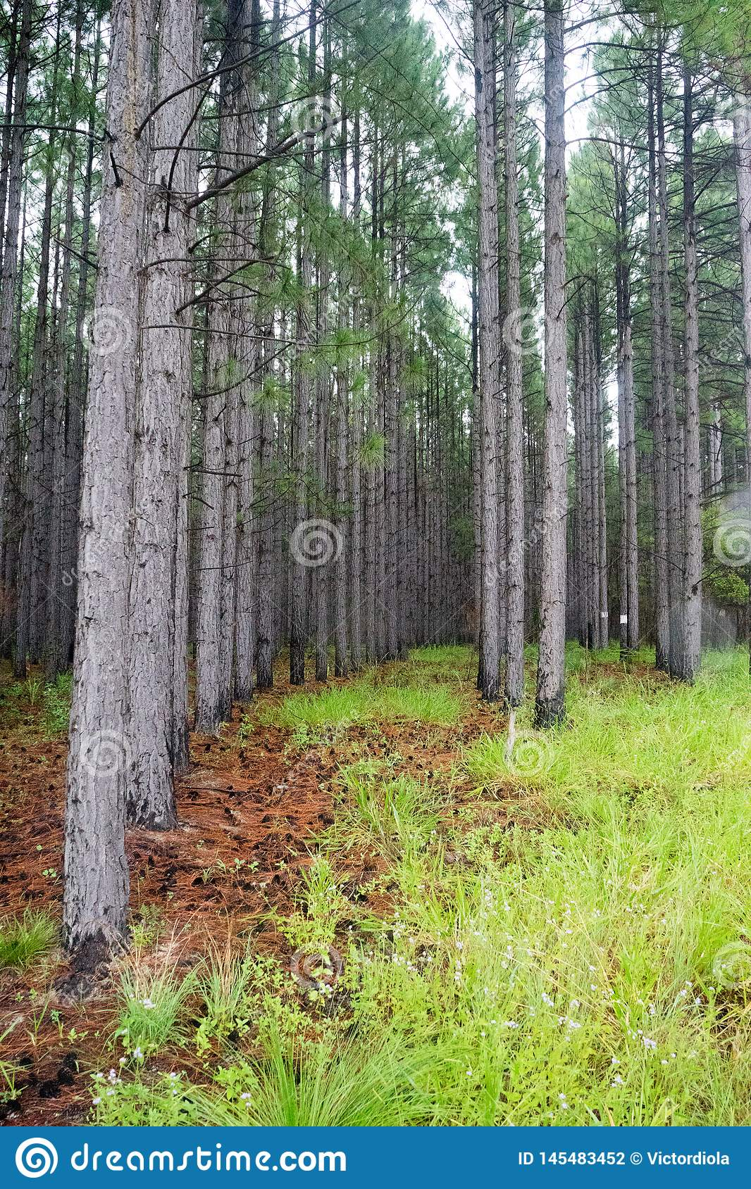 Row Of Pine Trees Desktop Wallpaper Stock Photo Image Of