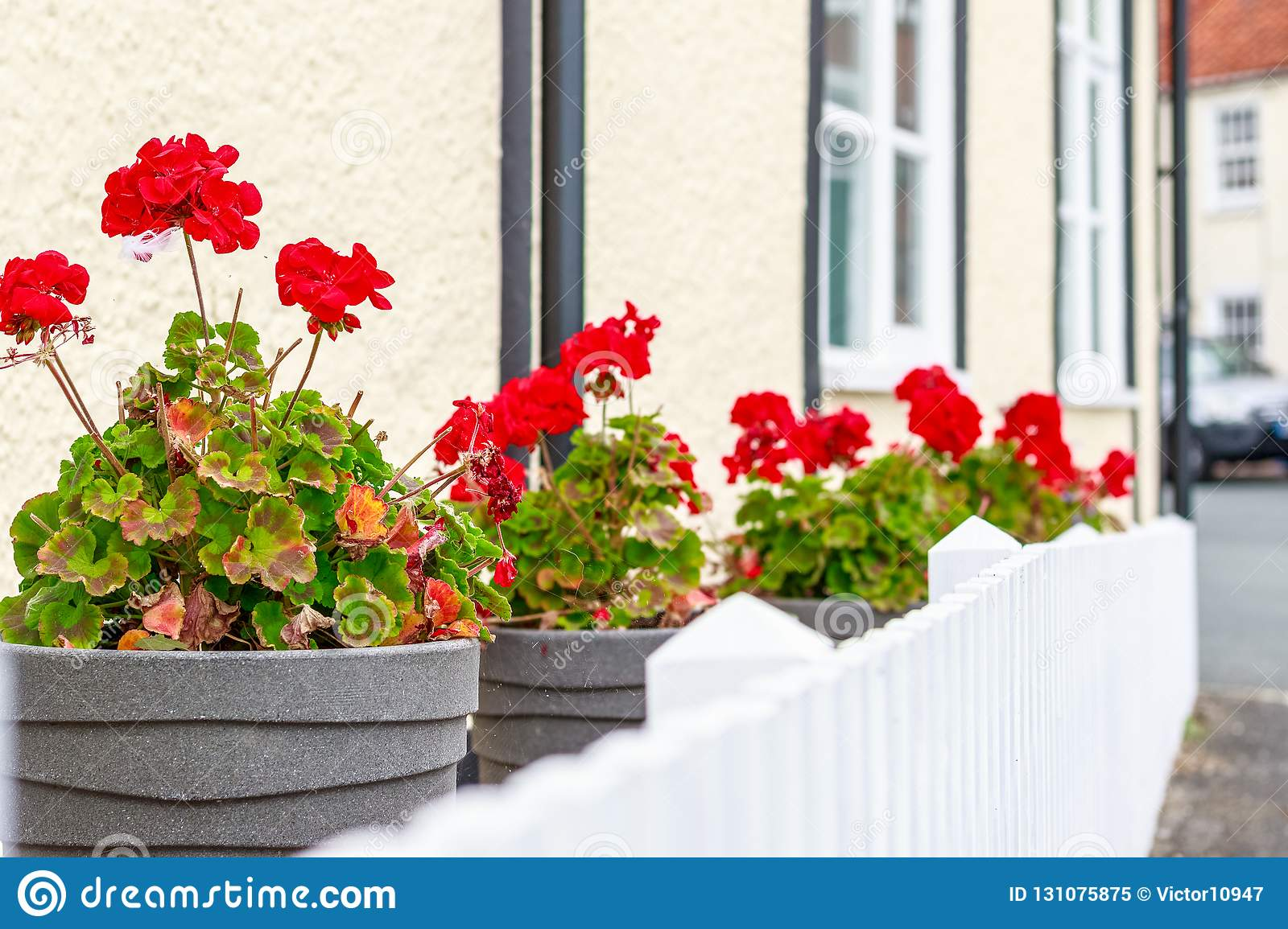 Row Of Potted Red Geranium Flowers Outside An English