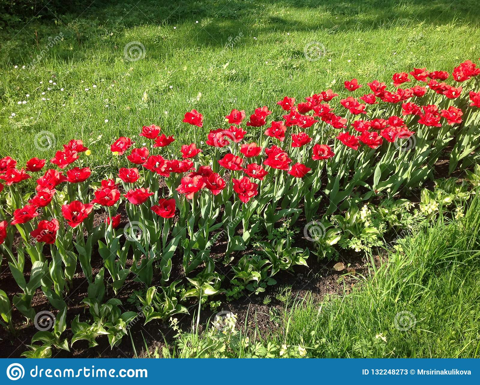 Row of red tulips surrounded by green grass in the sunlight