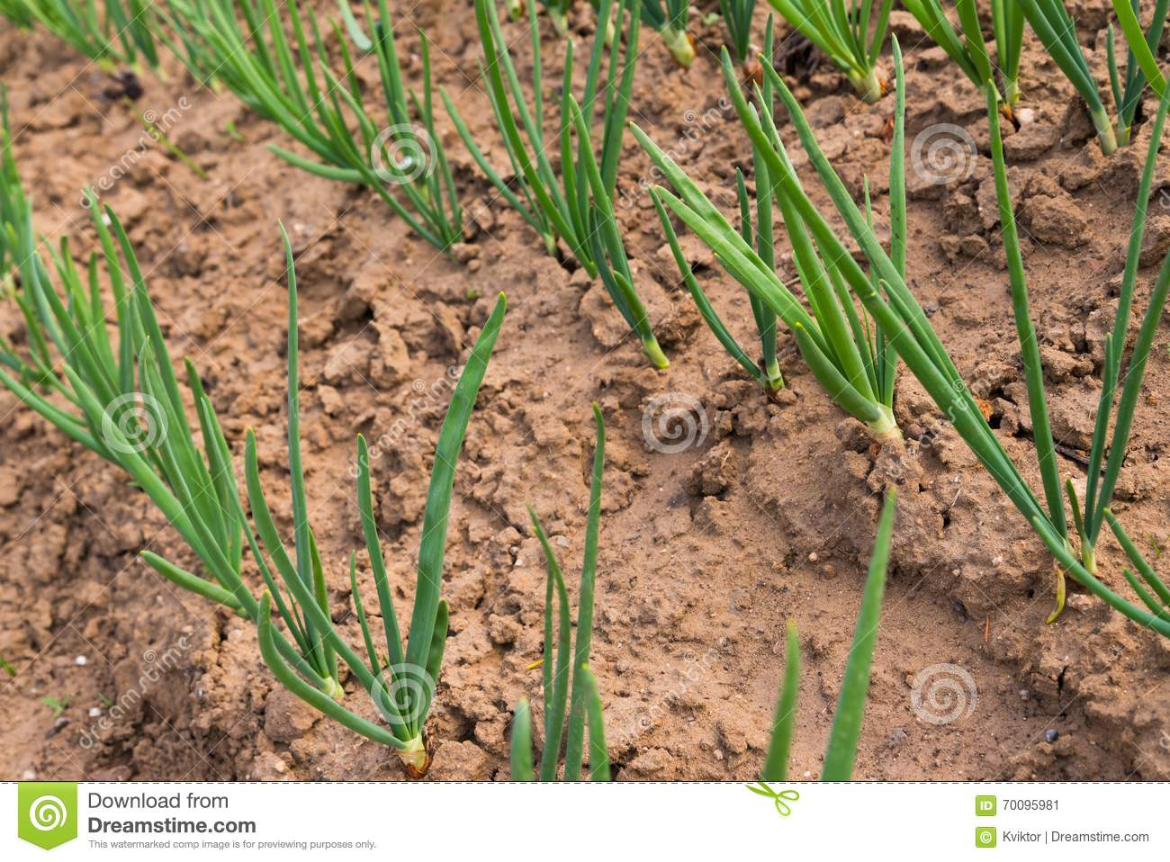 Vegetable garden rows - Royalty Free Stock Photo Download Row Of Spring Onion Sprouts In Vegetable Garden