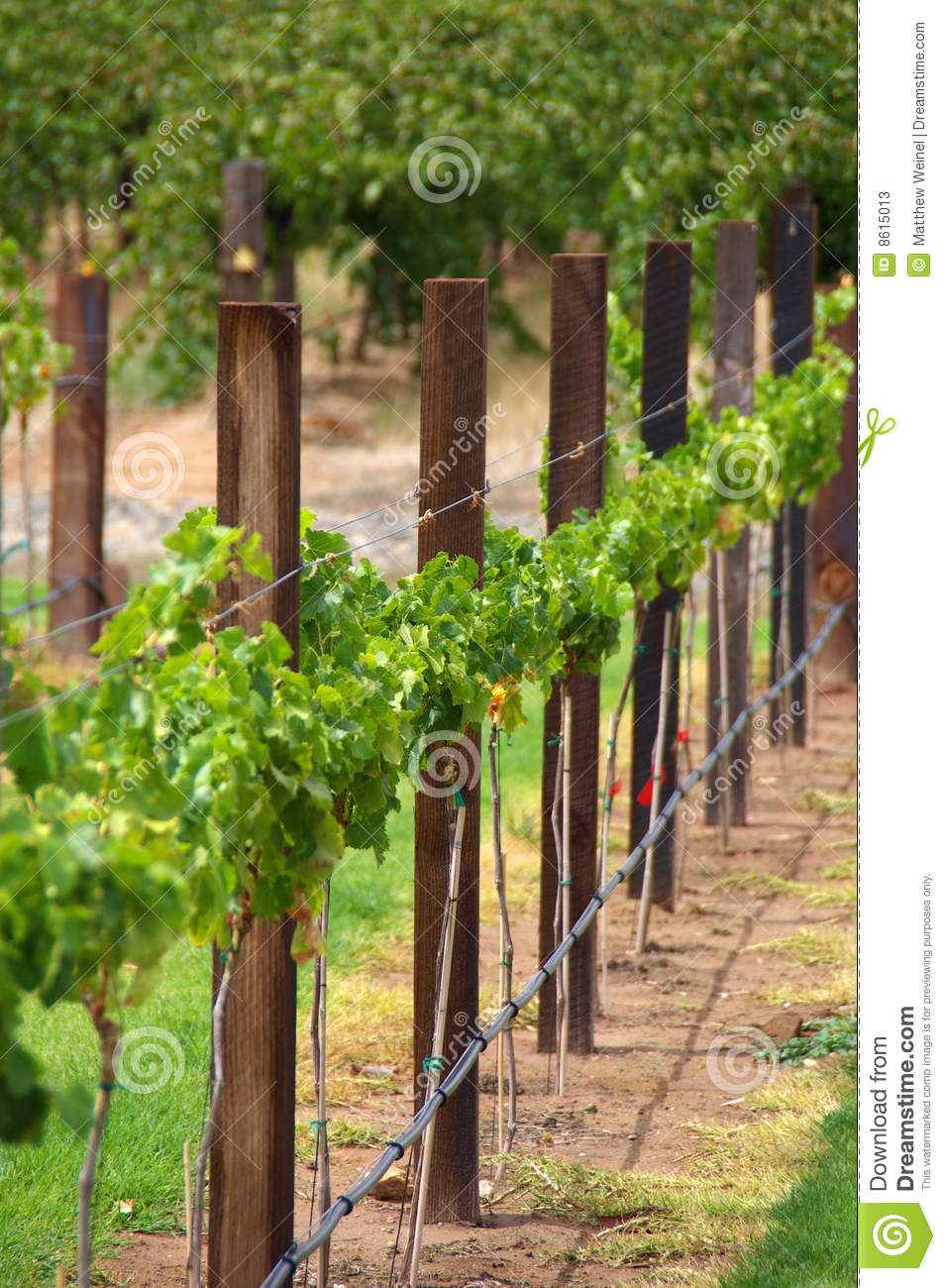 Row Of Vines Amp Trellis Posts Stock Photos Image 8615013