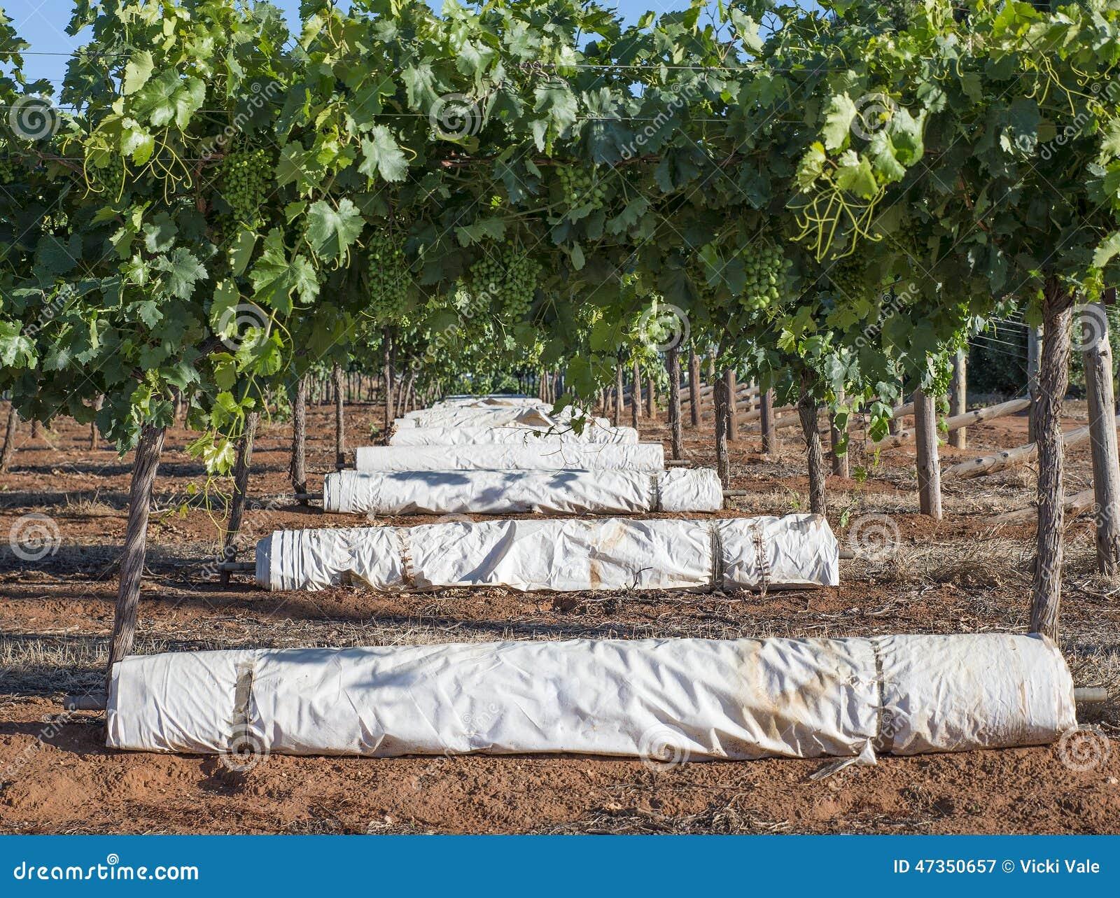Row Of White Vine Covers Under Vines Stock Image Image