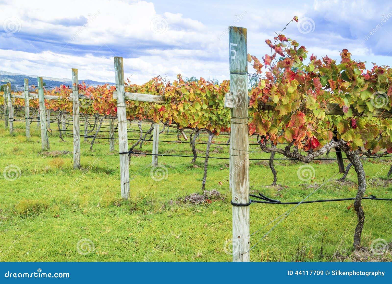 row of wine grape vines in autumn stock image