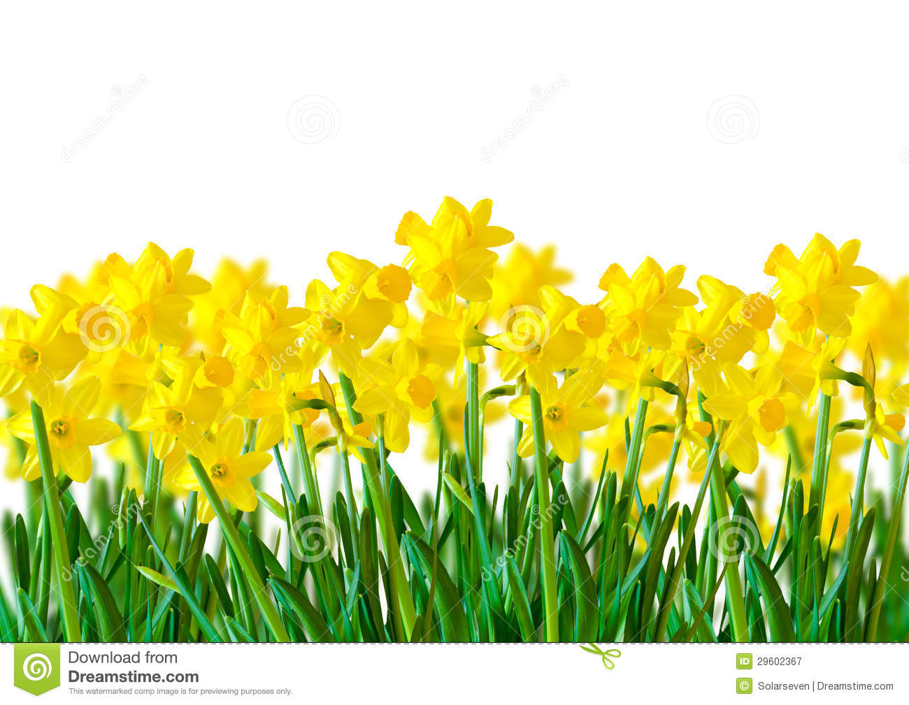 Row Of Yellow Daffodils Royalty Free Stock Photography Image